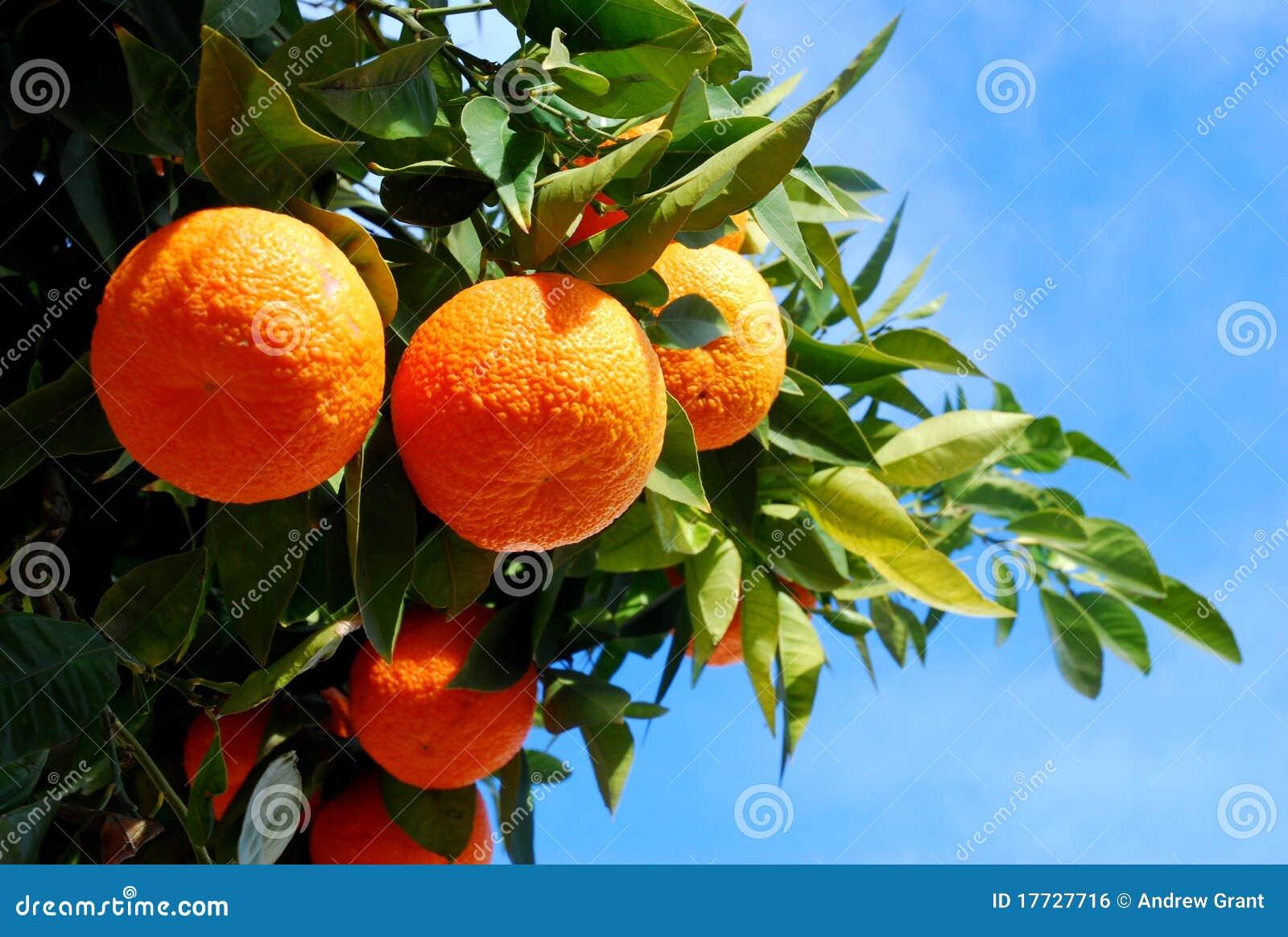 Orangen auf einem Baum