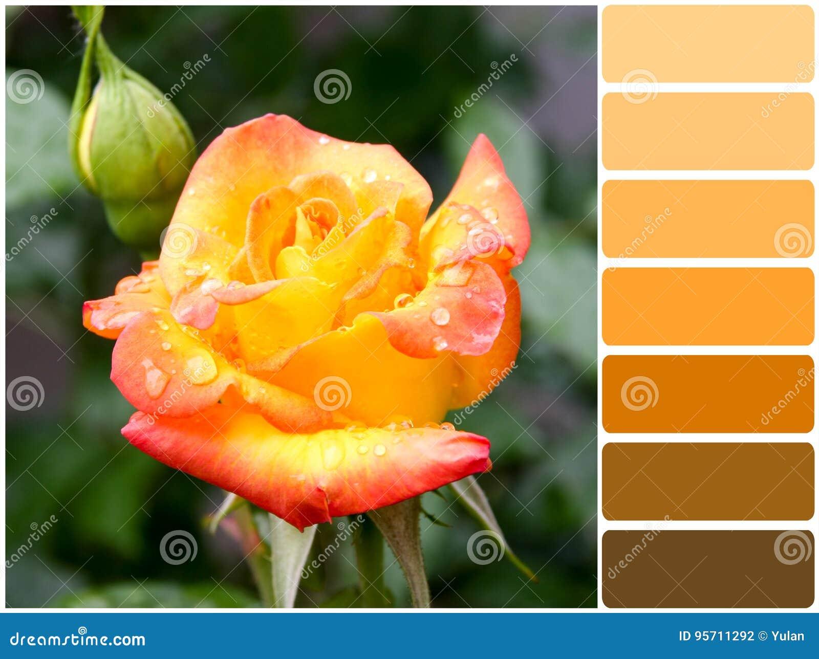 Orangerote Rose Und Farbpalette Stockfoto Bild Von Grad Leuchte 95711292