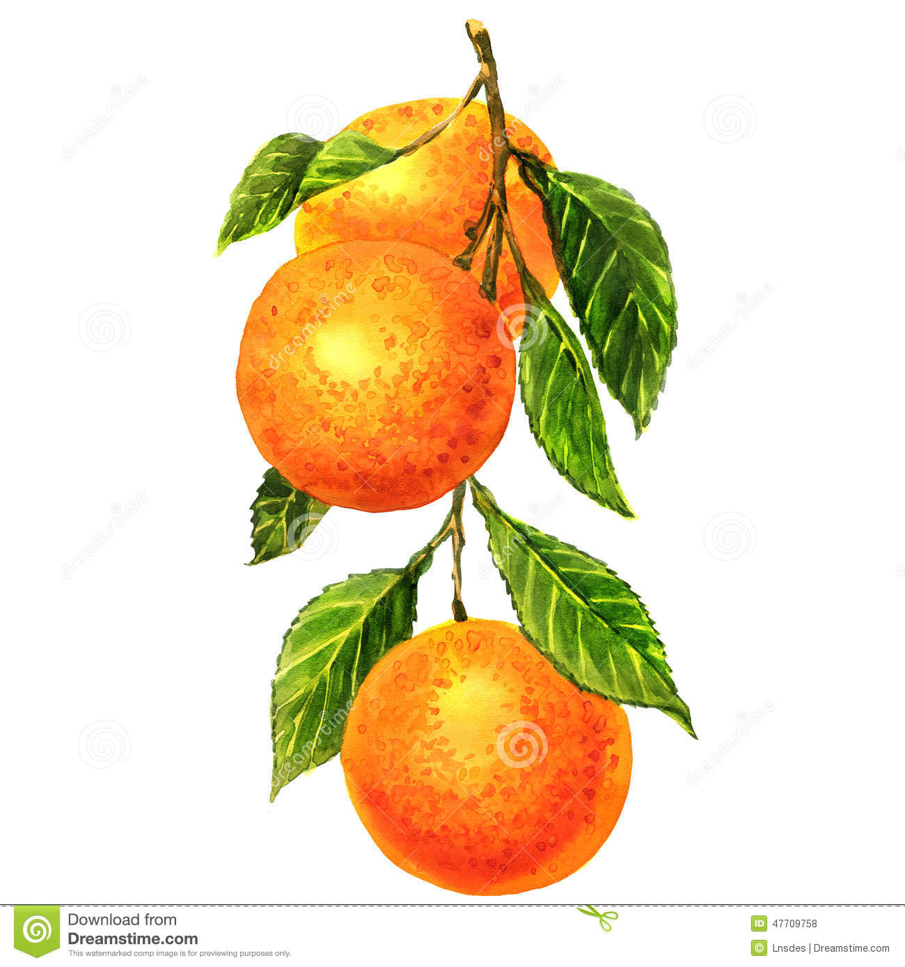 Oranges On A Branch With Leaves Isolated Stock ...