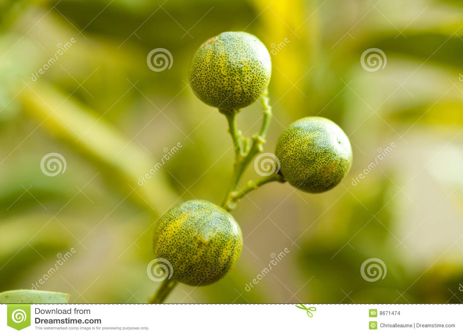 Oranges miniatures