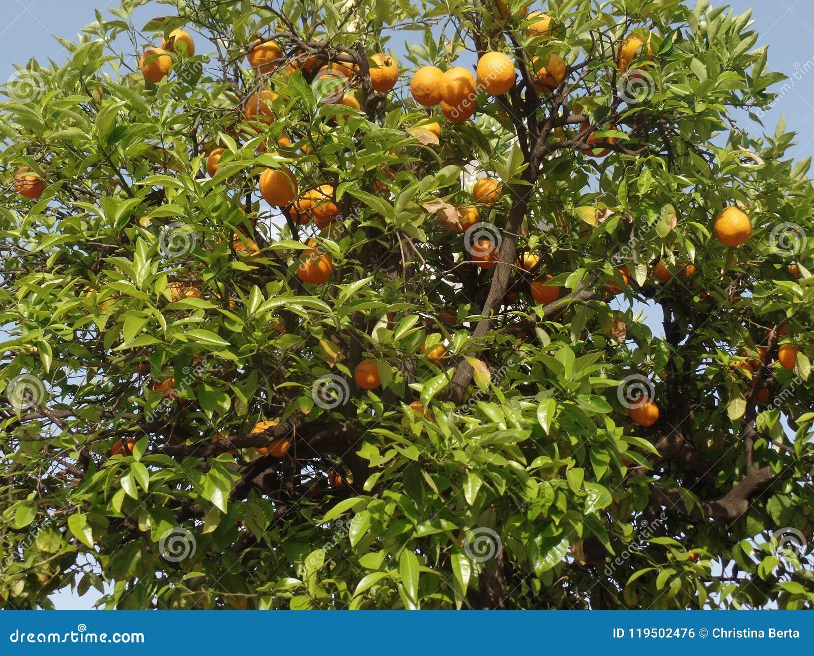 Oranges s élevant dans un arbre