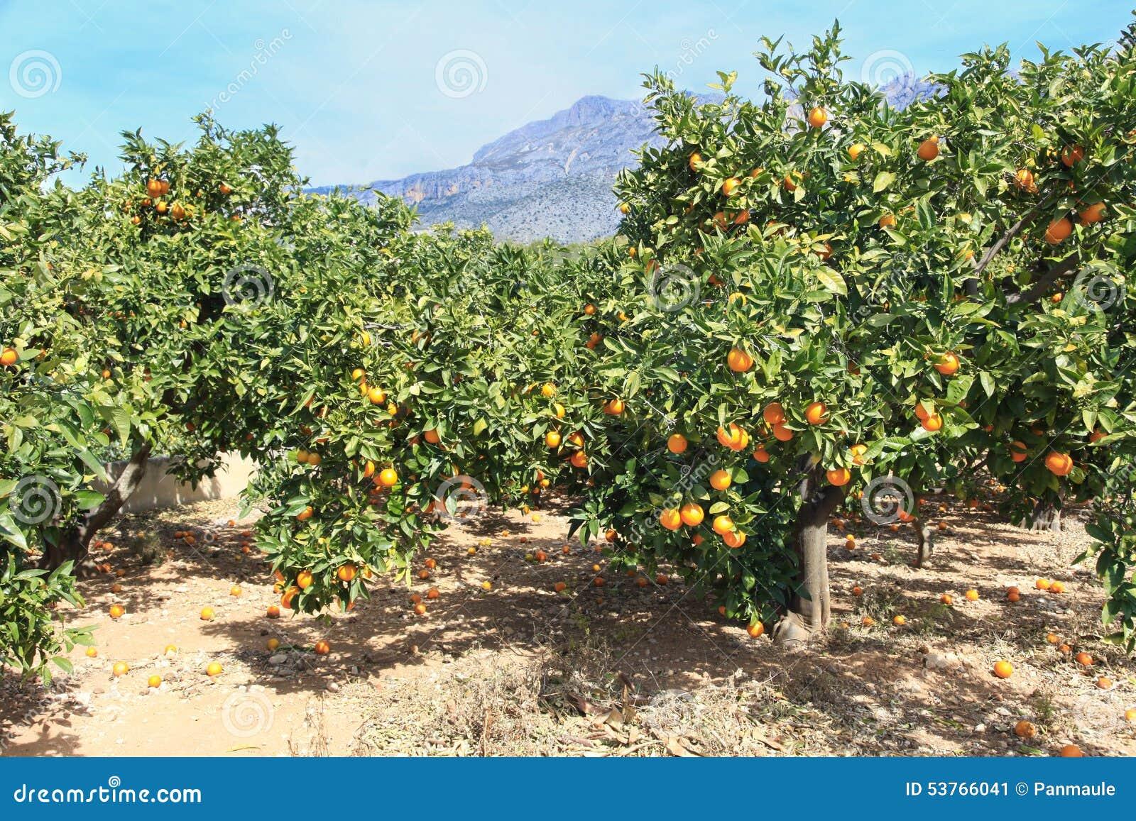 Oranges s élevant sur l arbre