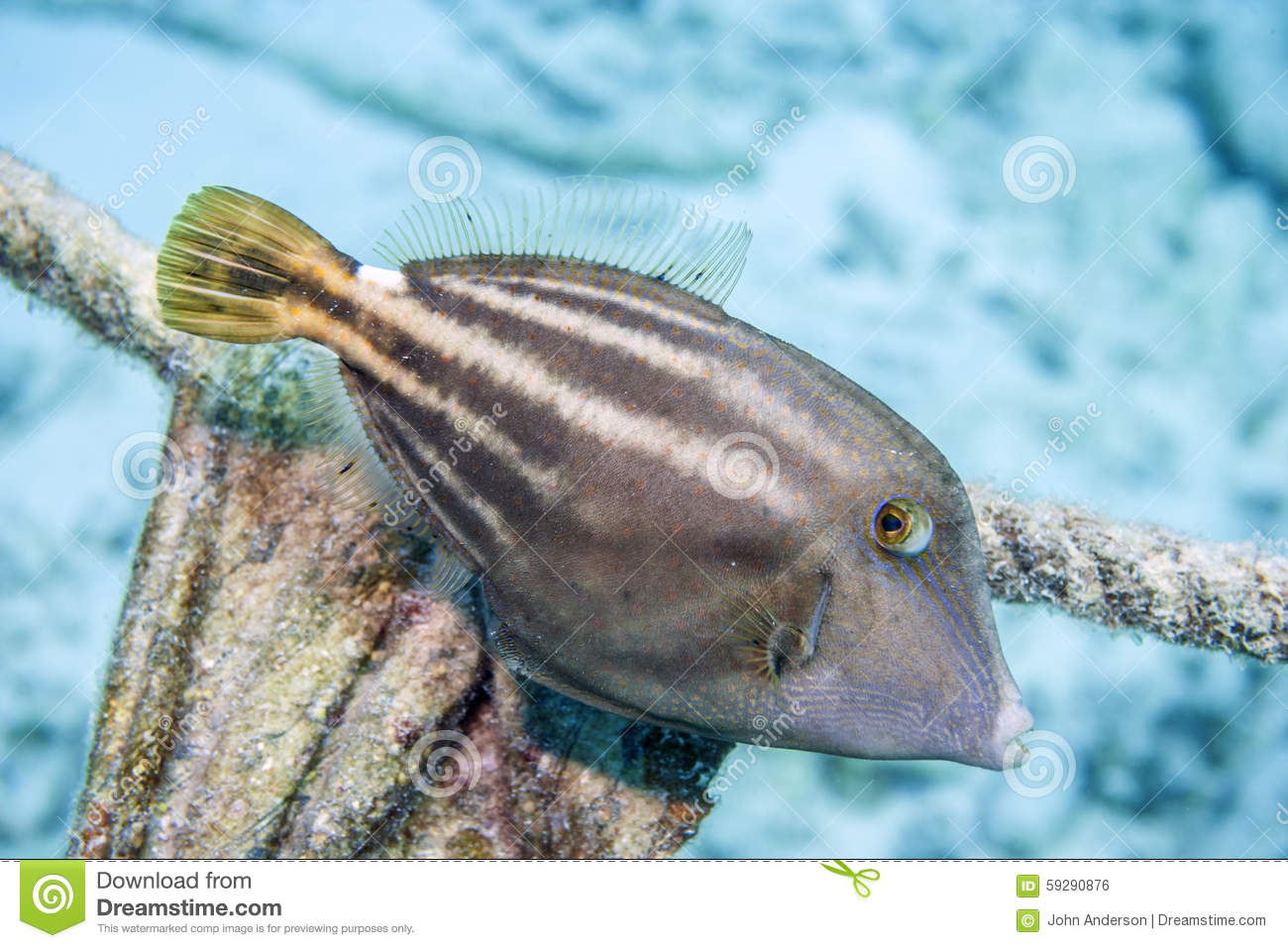 Orangespotted filefish, Cantherhines pullus