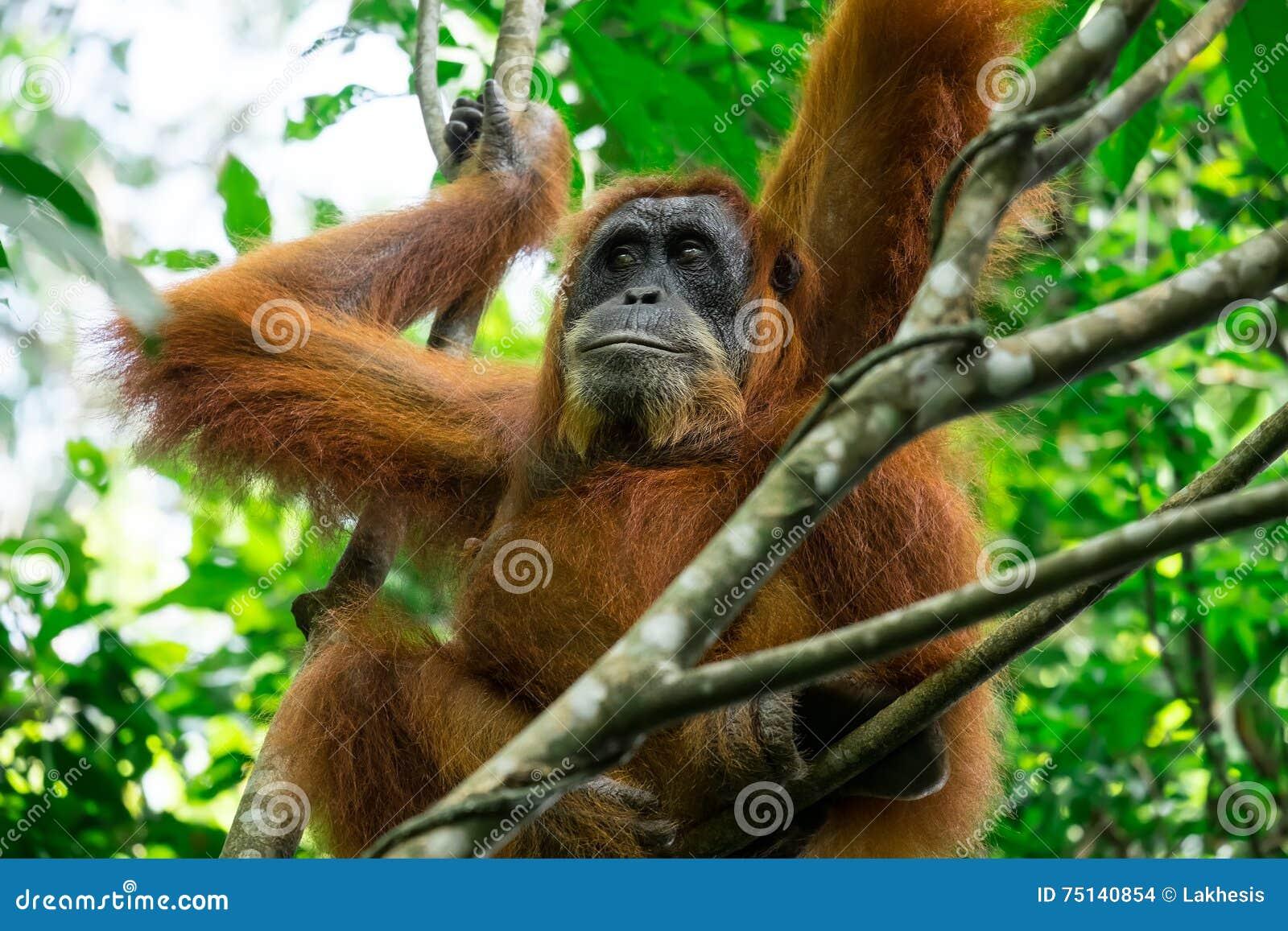 Goede Orangoetan In Tropisch Regenwoud Sumatra, Indonesië Stock Foto ZM-57