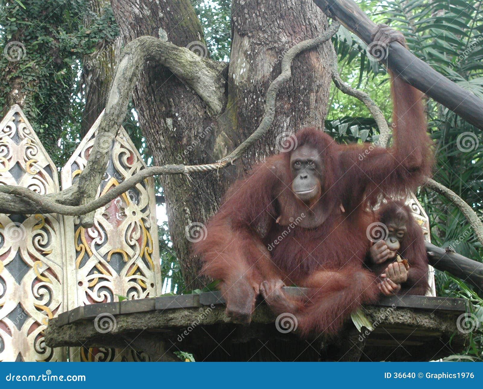 Orangoetans