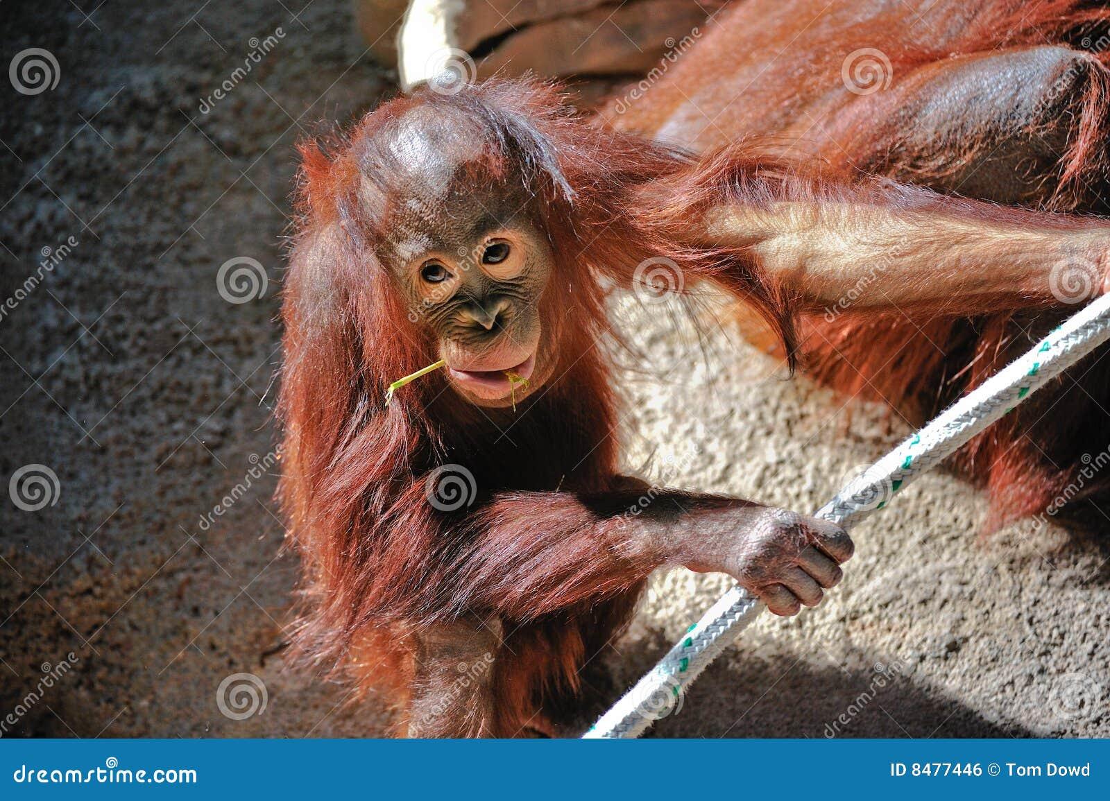 Orangotango bonito do bebê