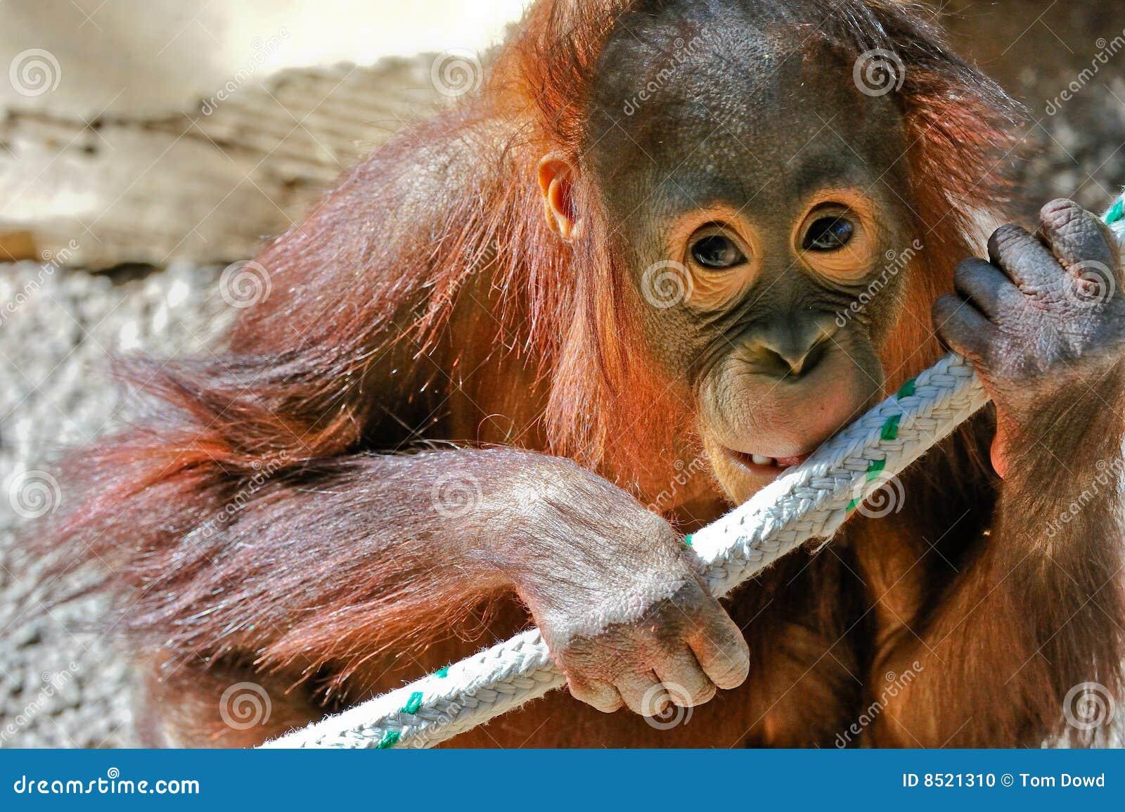 Orangotango do bebê no captiveiro