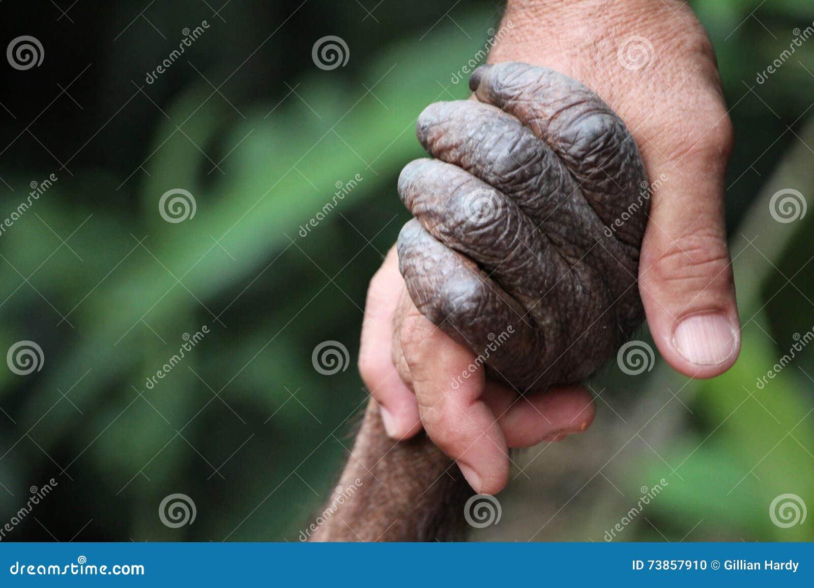 Orangotango e homem