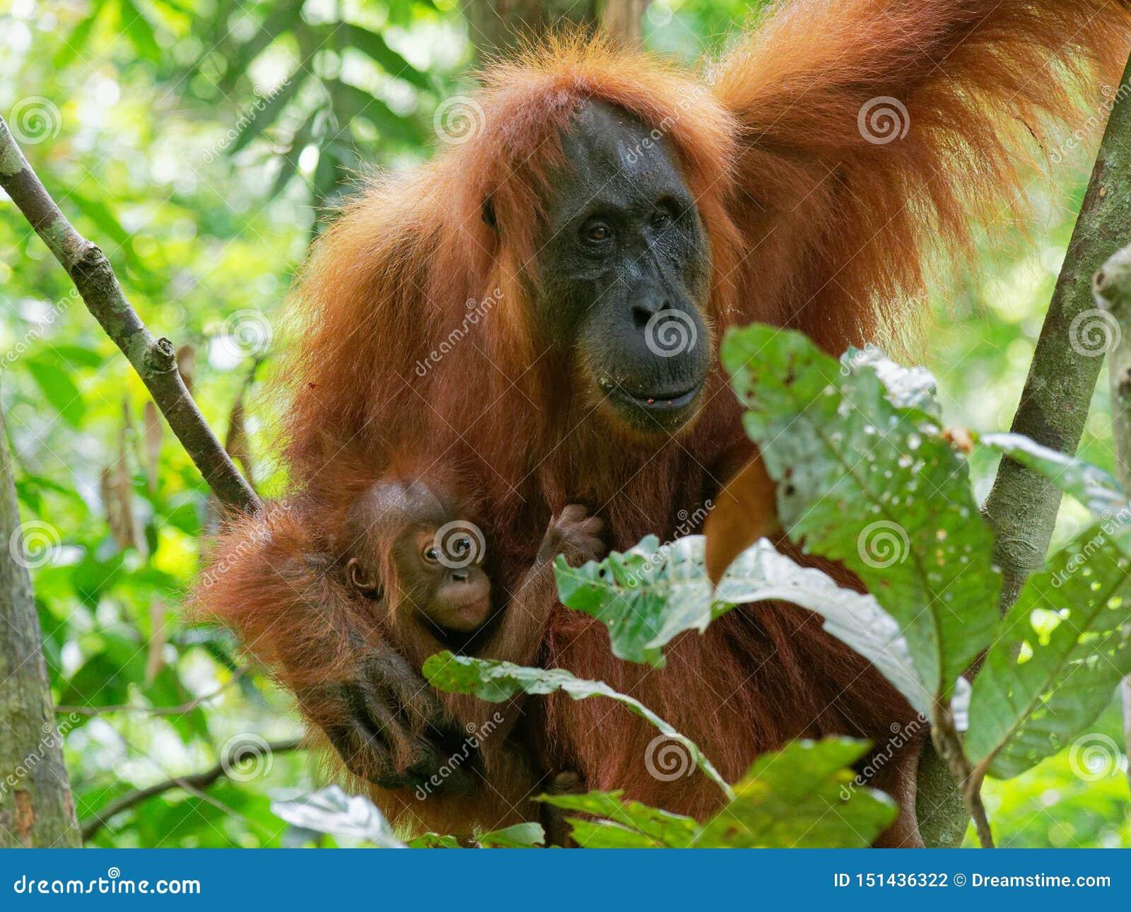 Orangotango utan com pouco bebê
