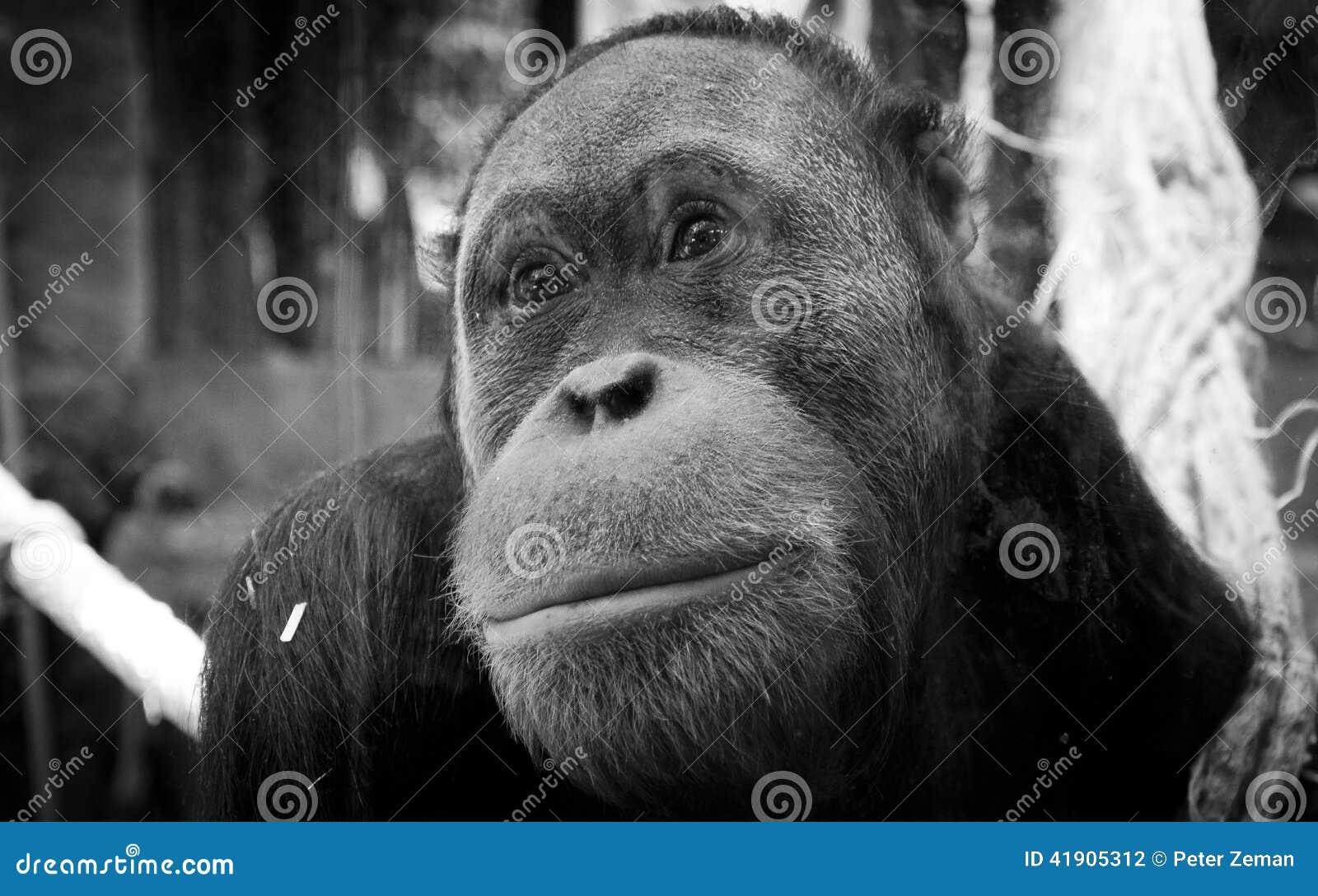 Orangután apacible