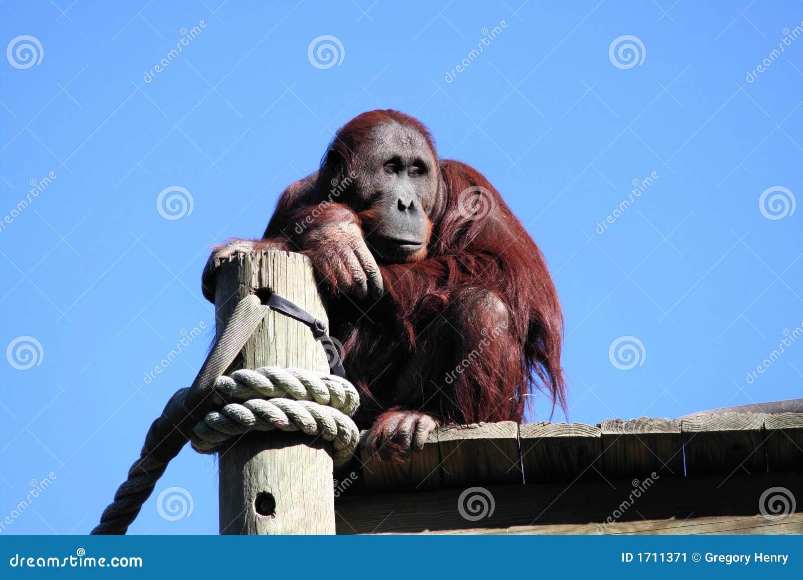 Orangután que soña despierto