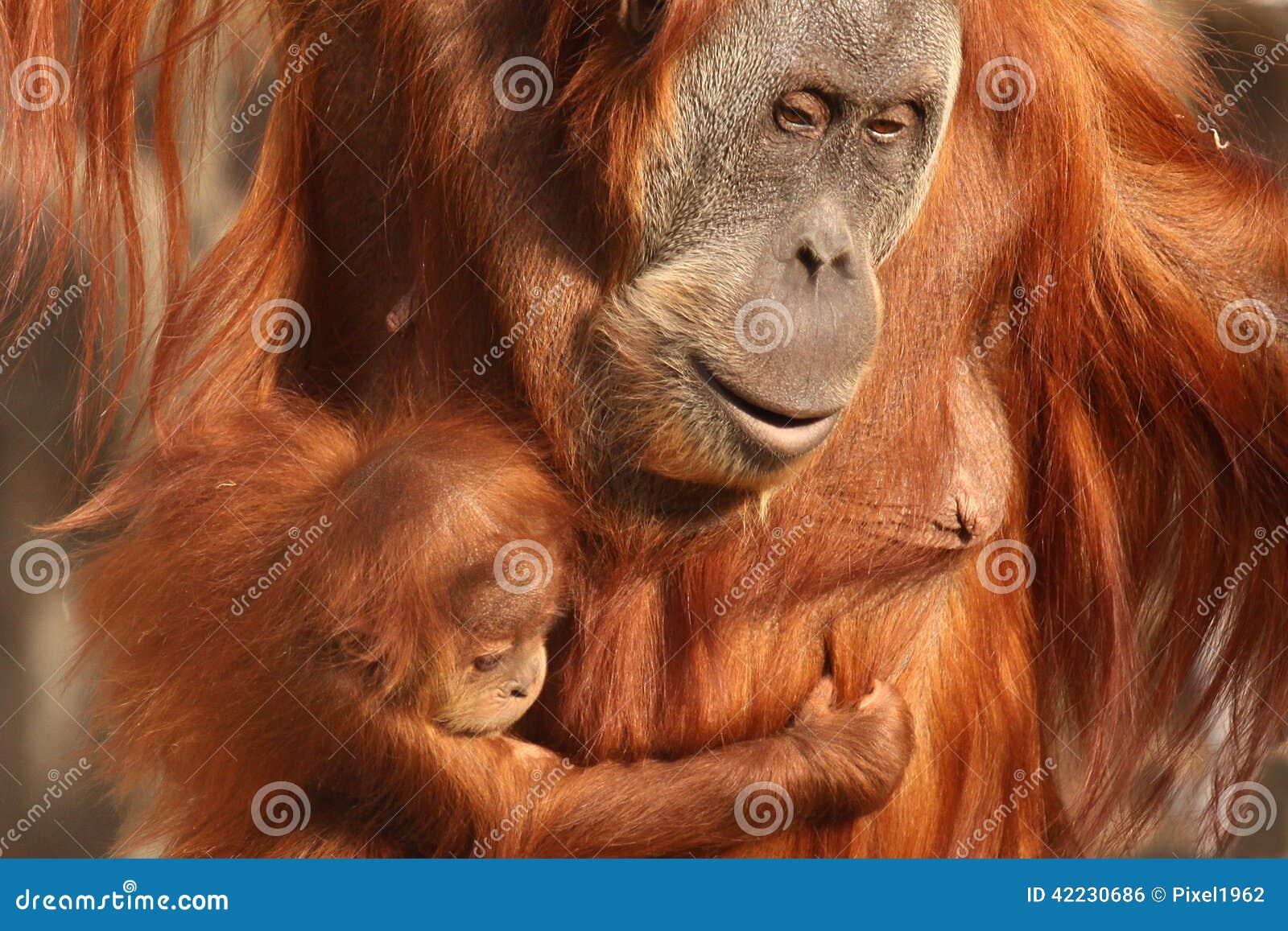 Orangutan μητέρων με το χαριτωμένο μωρό της