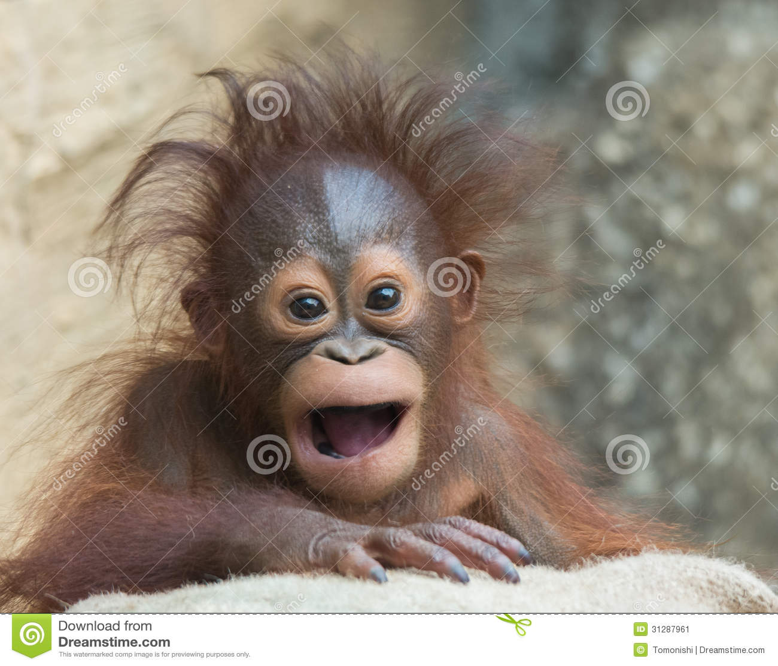 Orangutan - μωρό