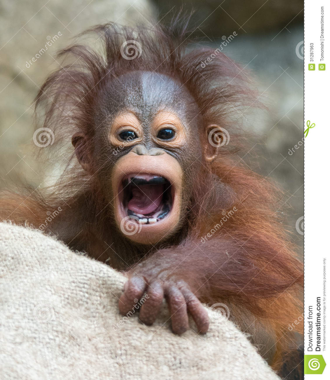 Orangutan baby with funny face stock image image 31287963