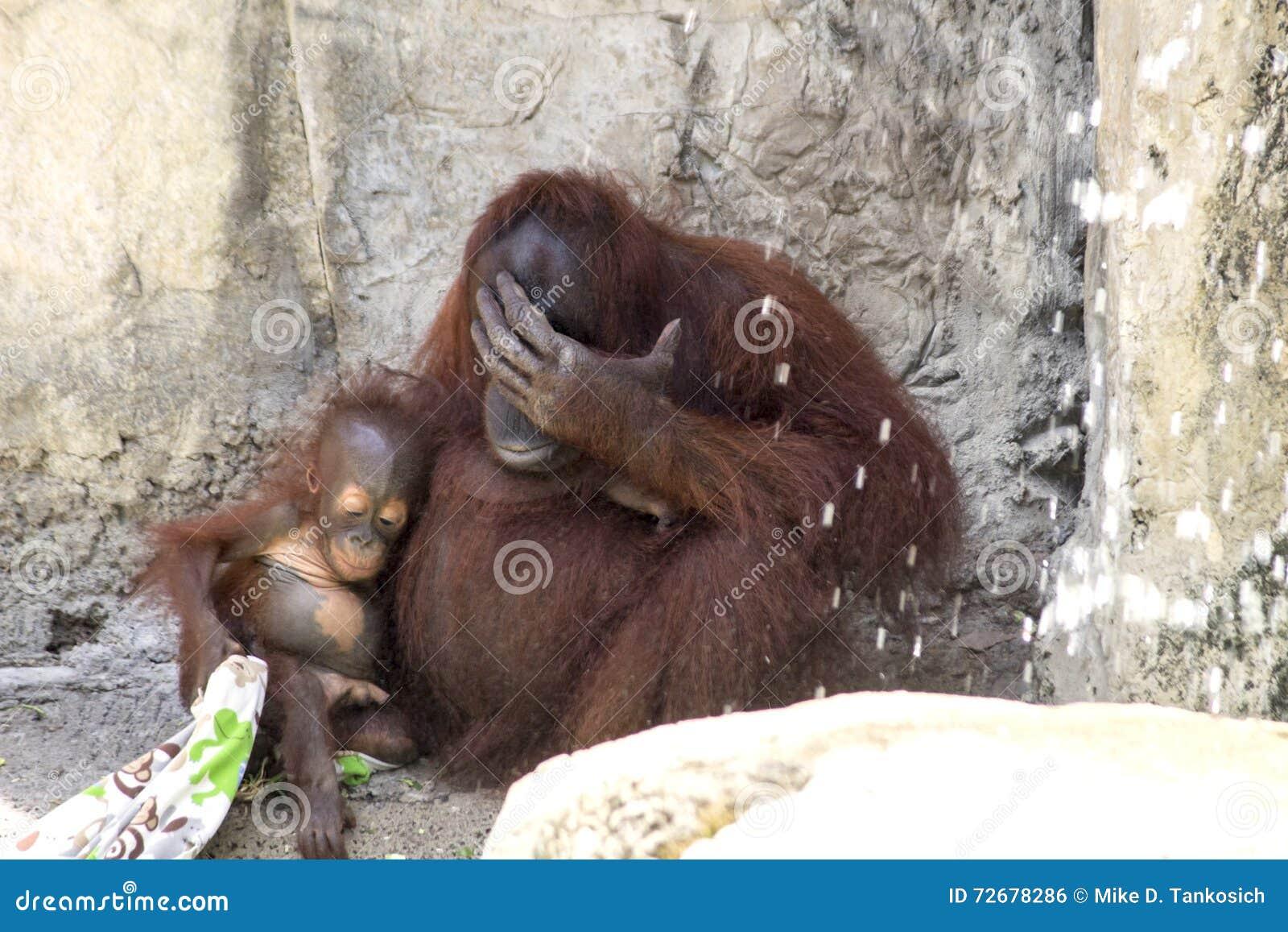 orangutan baby & mom resting stock photo - image of hairy, children
