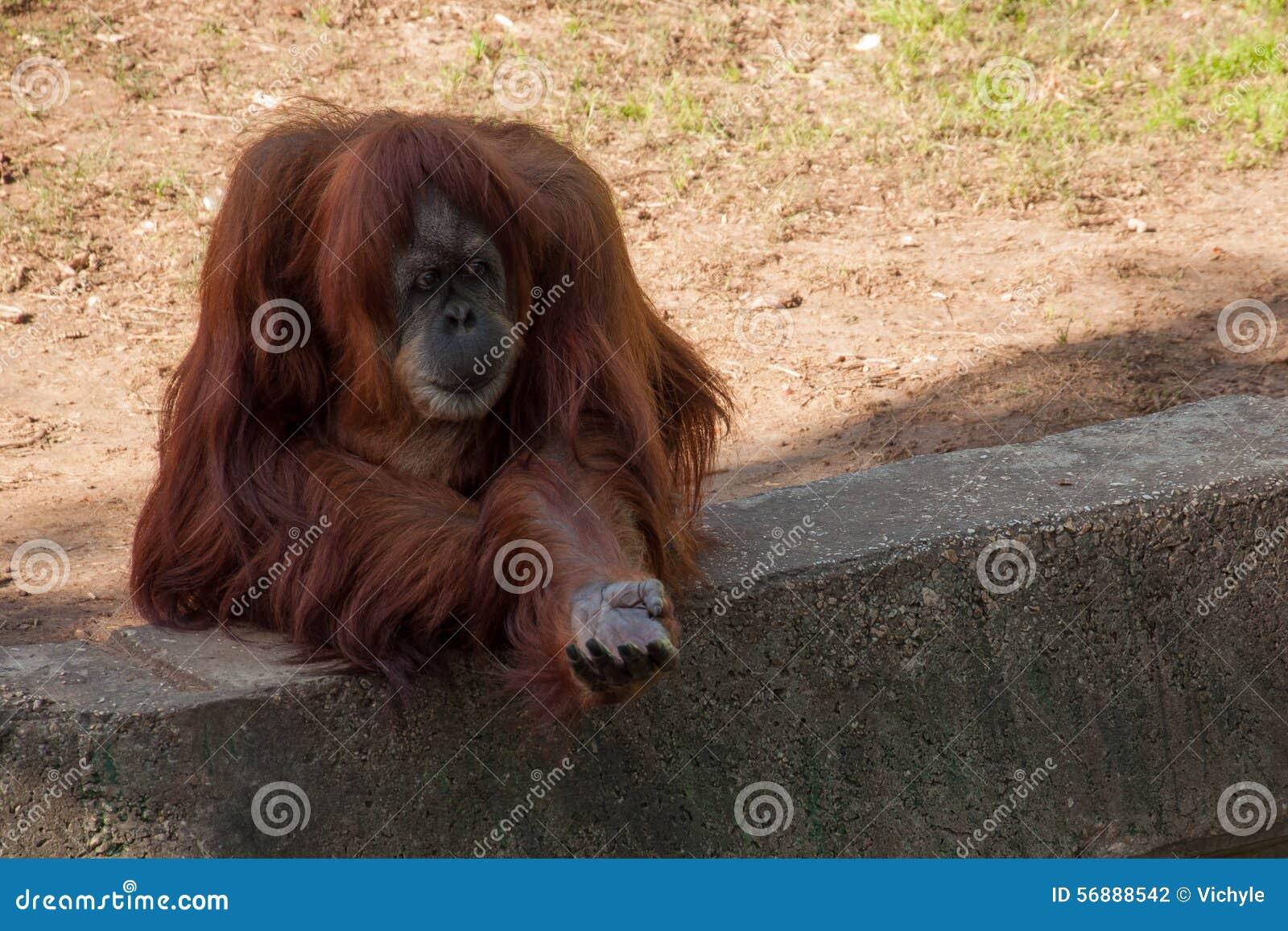 Orangutan chiesto di mangiare nello zoo