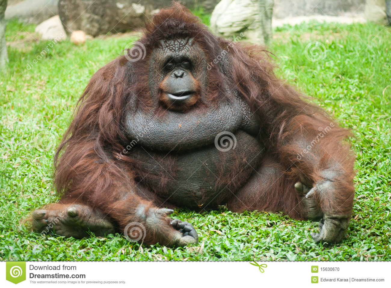Orangutan female at Dusit Zoo, Bangkok, Thailand.