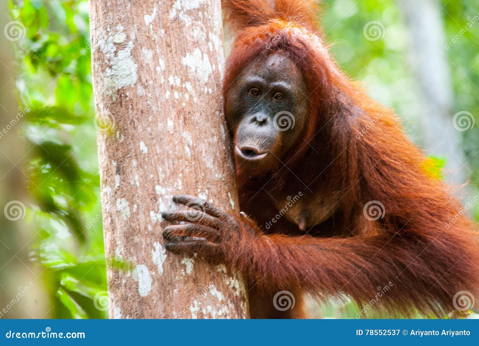 Orangutan kalimantan tanjung puting national park indonesia