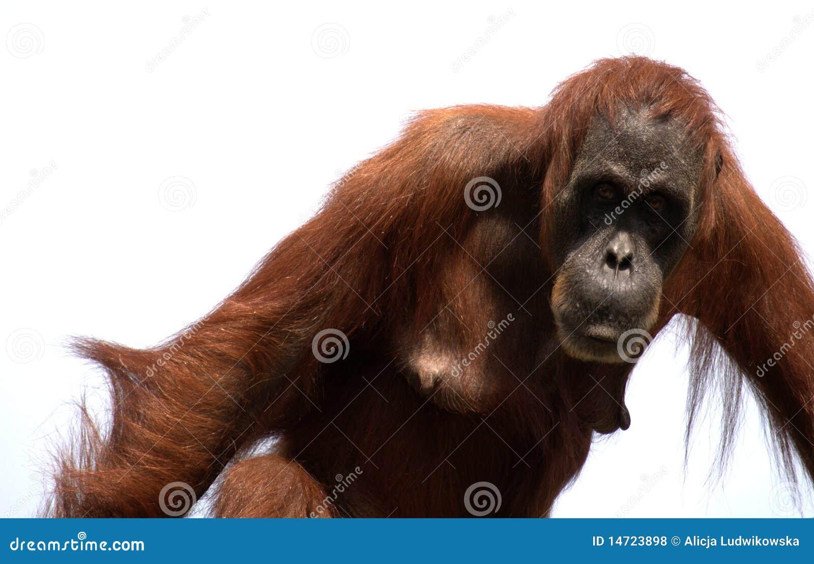 Orangutan małpi sumatran