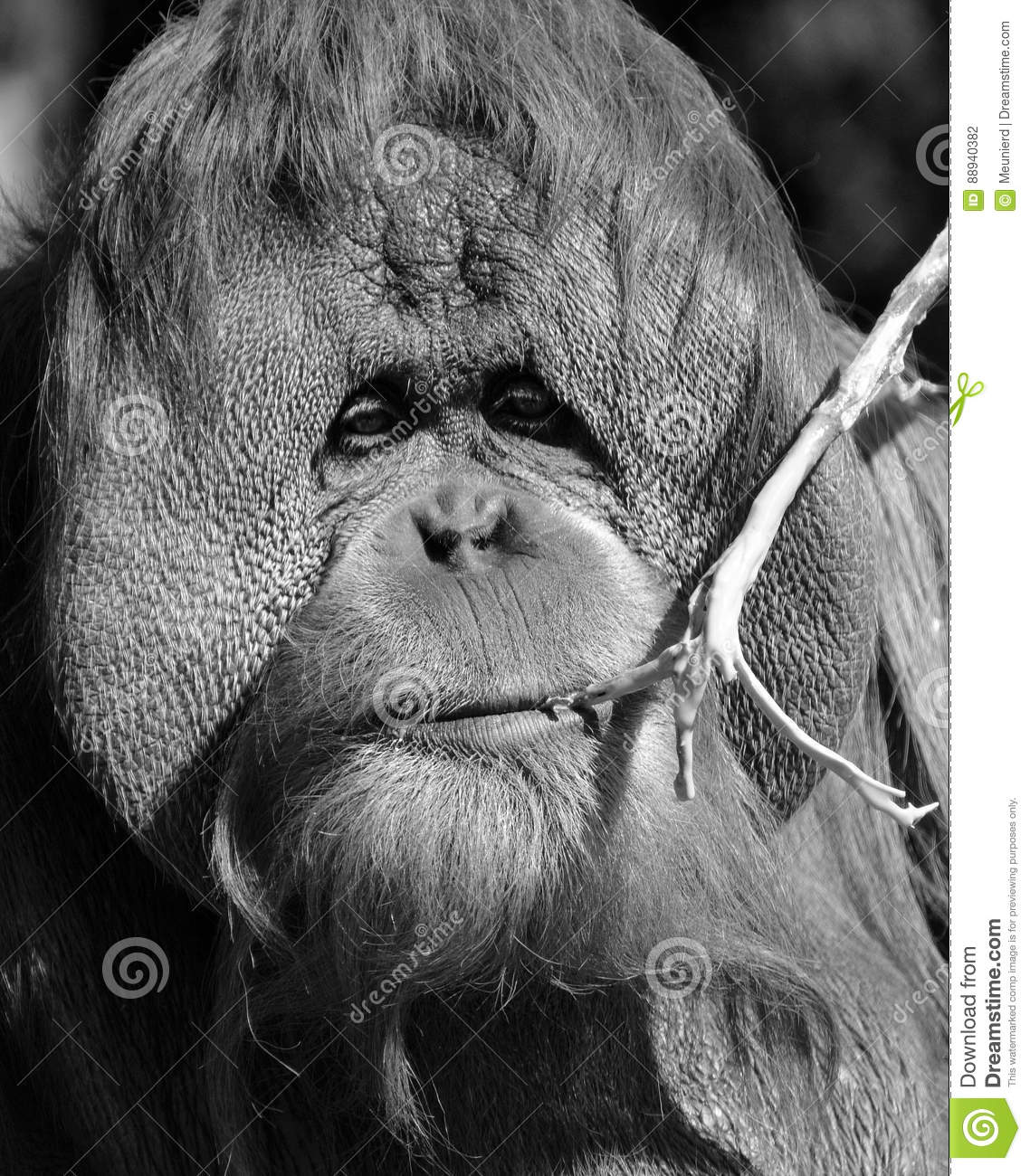 The orangutans, orang-utan, orangutang, or orang-utang are the two  exclusively Asian species of extant great apes. Native to Indonesia and  Malaysia in the ...