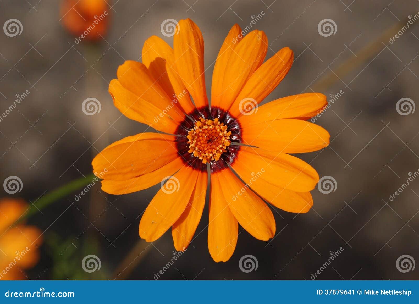 Oranje bloem met donkere ring