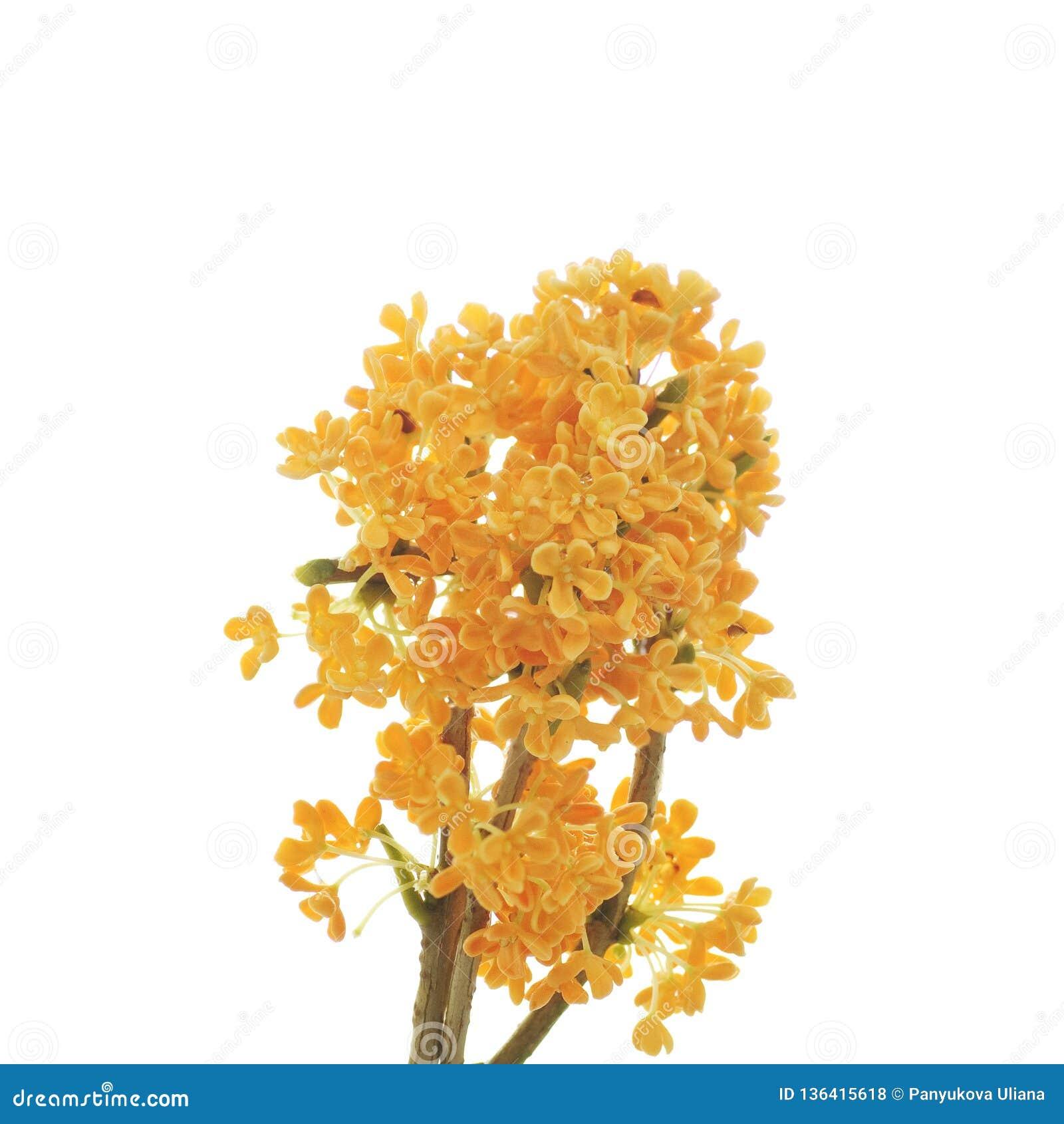 Oranje bloemen van zoete osmanthus