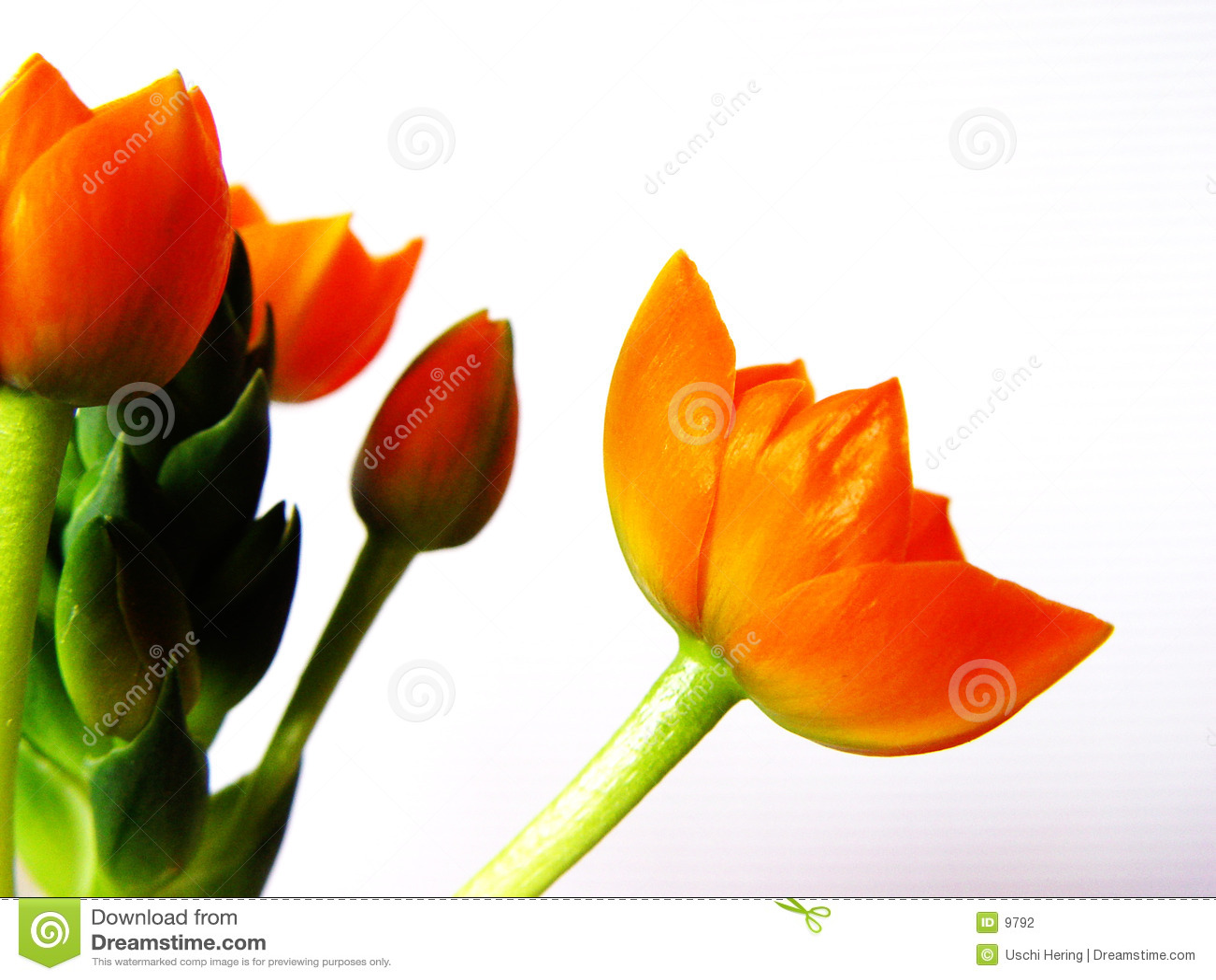 Oranje bloesems 1