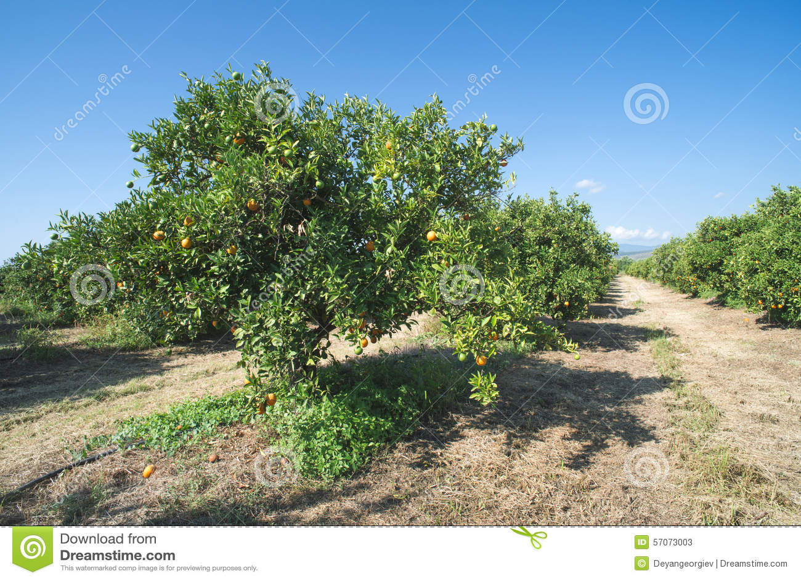 Oranje bomen in aanplanting