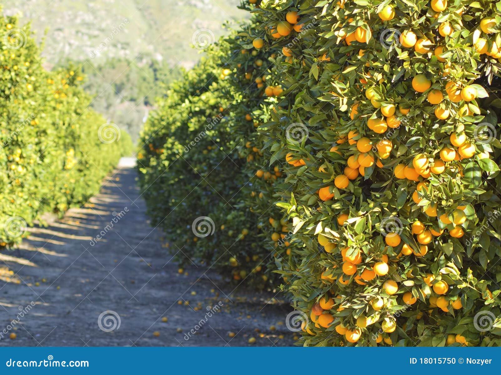 Bomen In Tuin : Oranje bomen in tuin stock foto. afbeelding bestaande uit gras