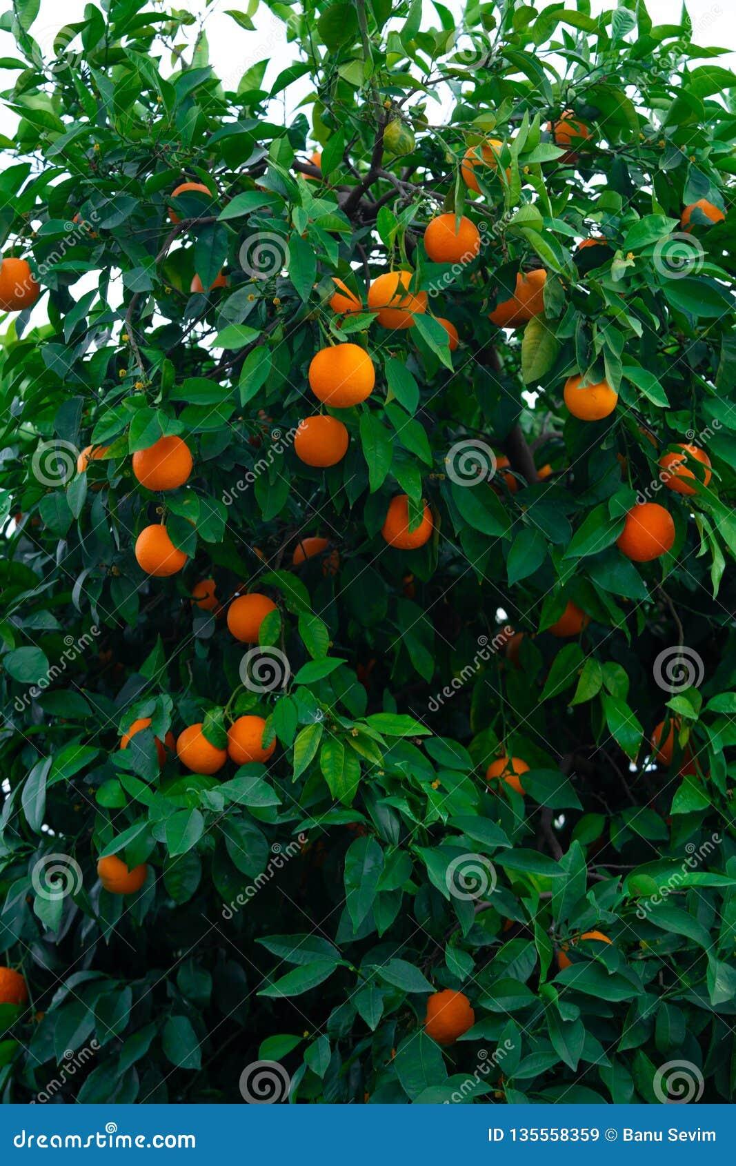 Oranje boom en sinaasappelen