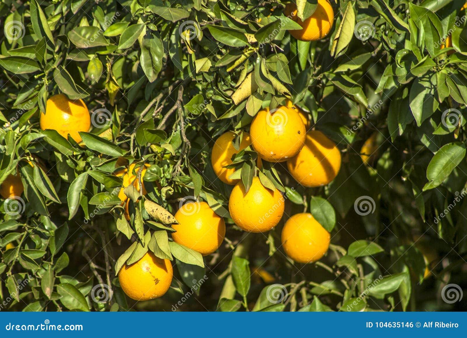 Download Oranje Boomgaard stock foto. Afbeelding bestaande uit oogst - 104635146