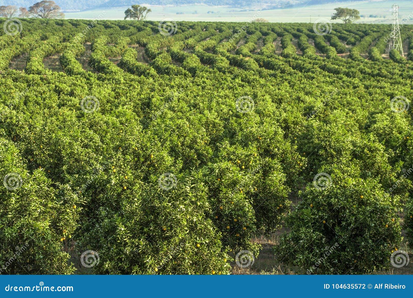 Download Oranje Boomgaard stock foto. Afbeelding bestaande uit growing - 104635572