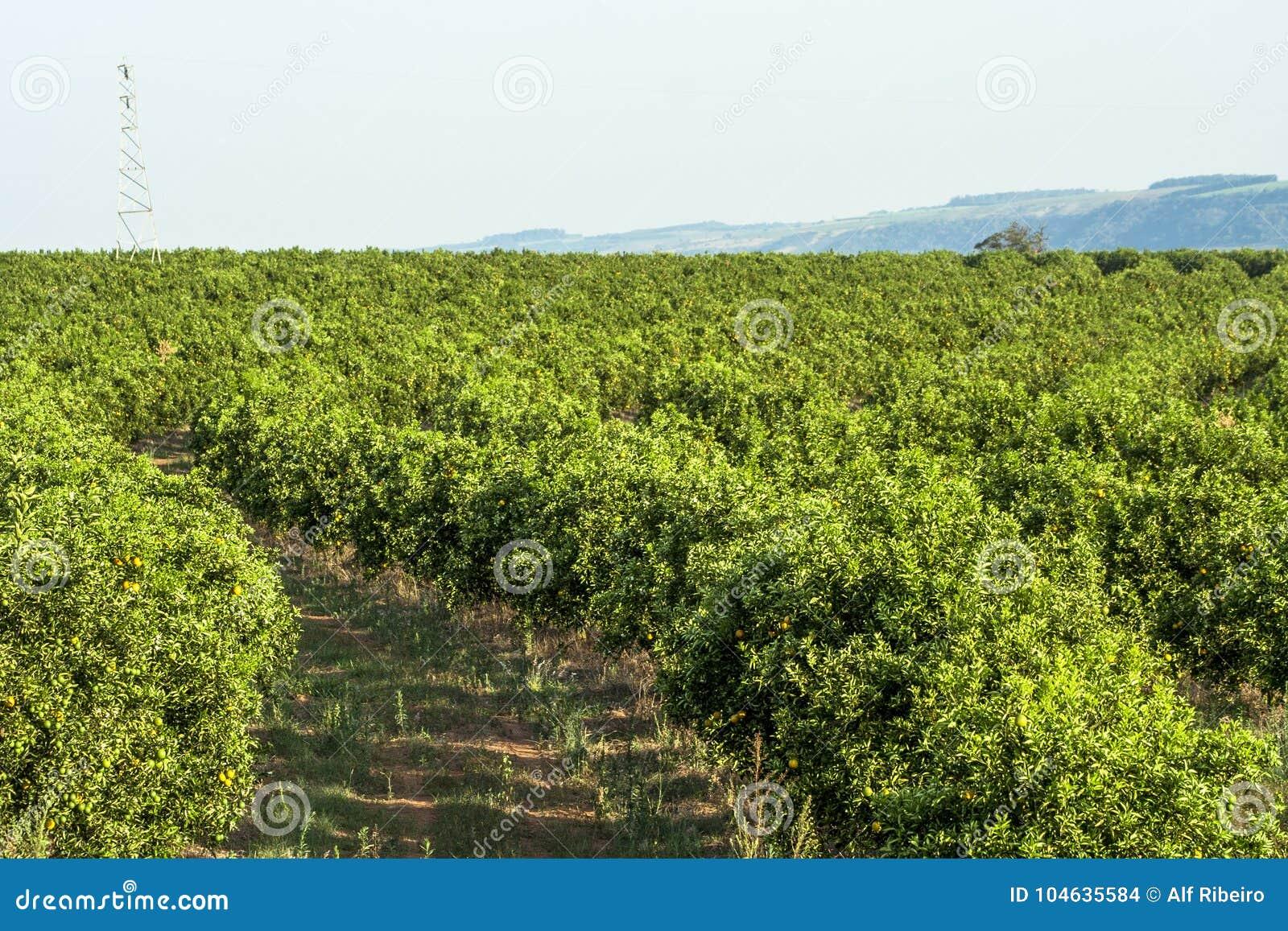 Download Oranje Boomgaard stock foto. Afbeelding bestaande uit gewas - 104635584