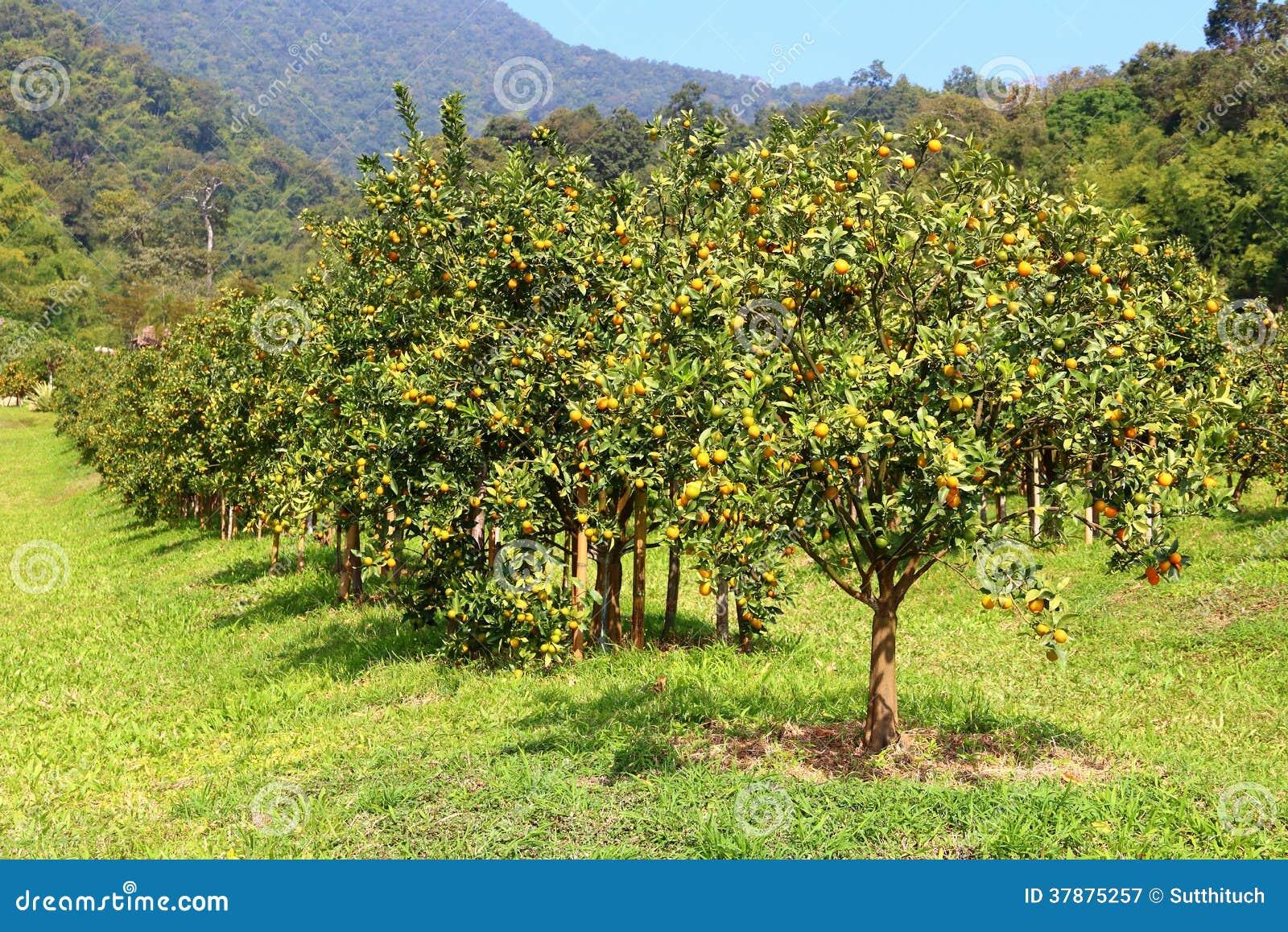 Oranje boomgaard