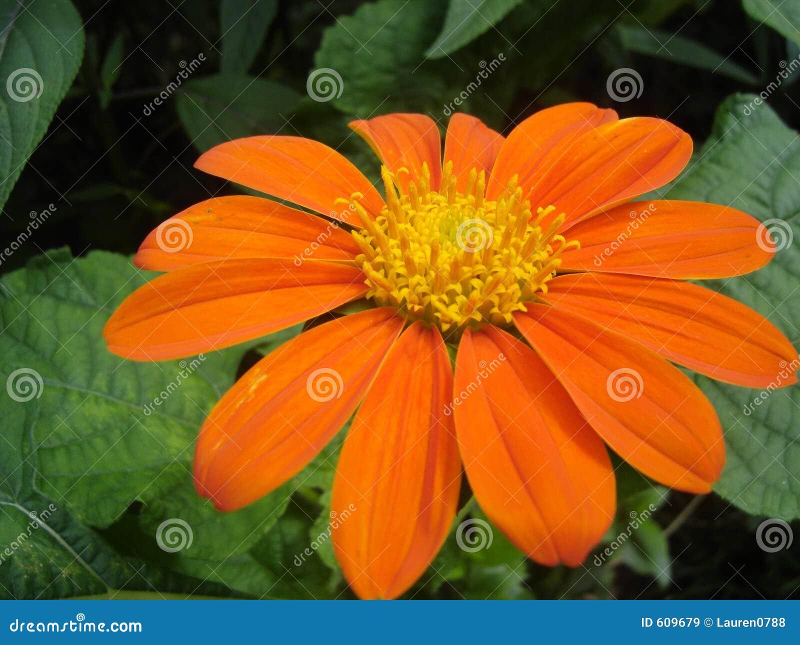 Oranje Daisy