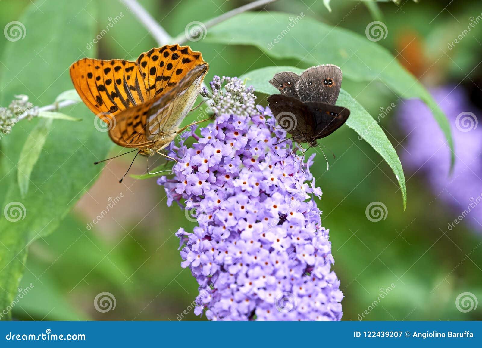 Oranje die aglaja van Argynnis van vlinderaglaia op een bloem zuigende nectar wordt gesteld