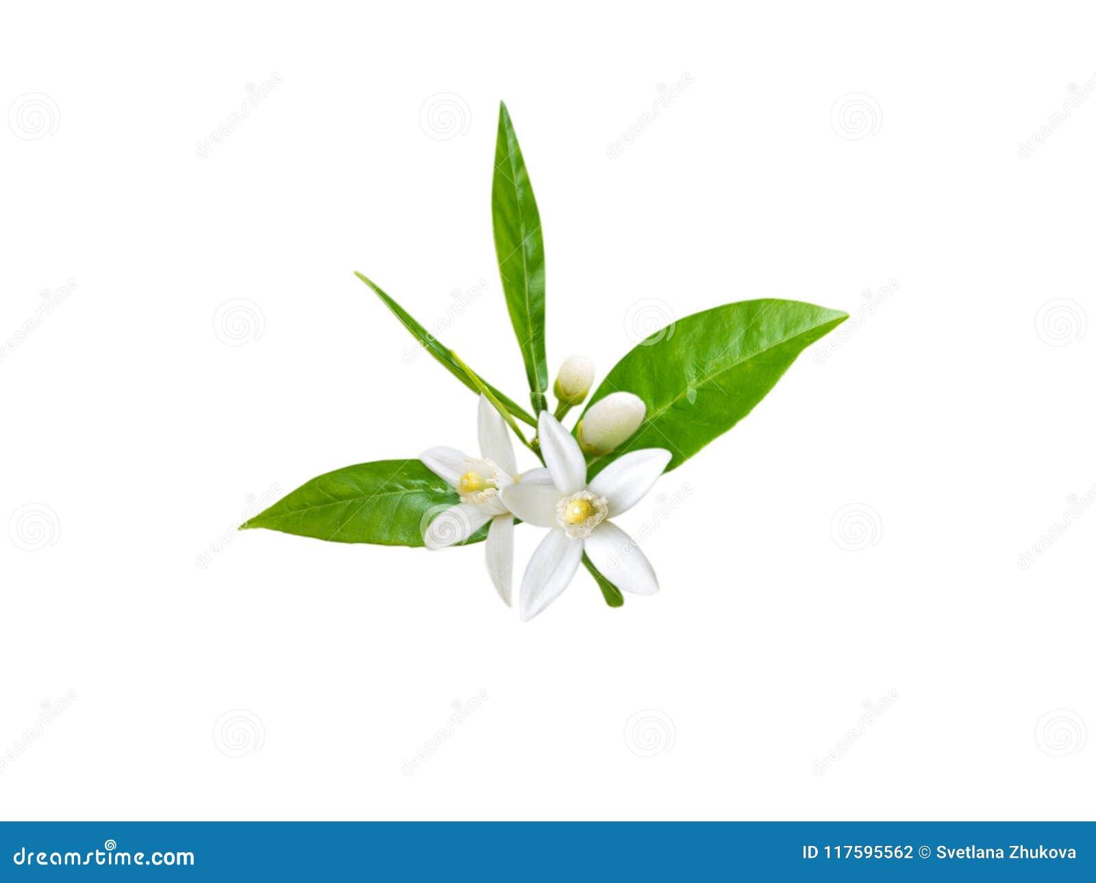 Oranje die bloemen op wit worden geïsoleerd