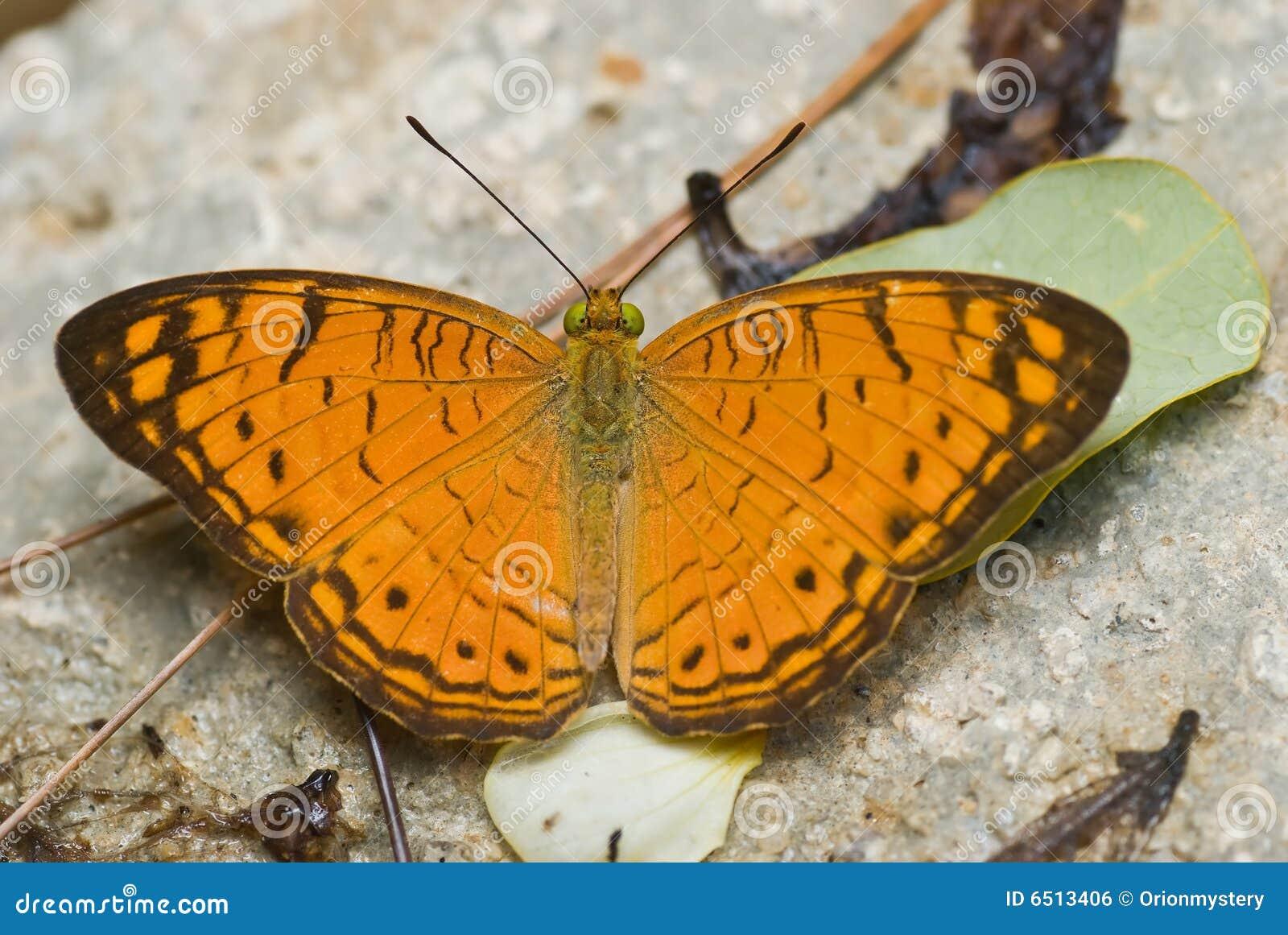 Oranje en bruine vlinder stock foto afbeelding bestaande uit wild 6513406 - Kussen oranje en bruin ...