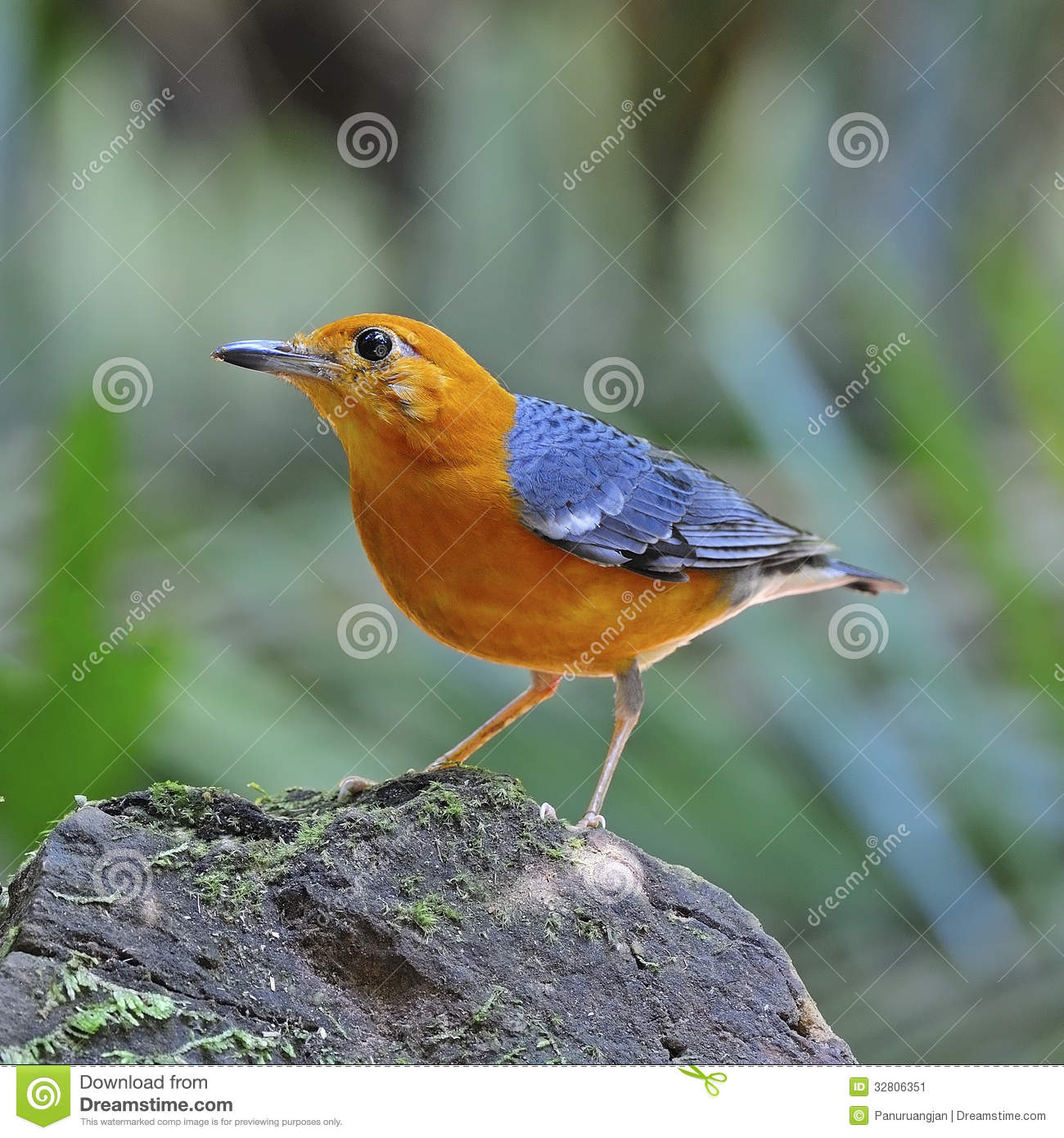 Oranje geleide lijster stock afbeelding afbeelding 32806351 for Les oiseaux du jardin gris queue orange