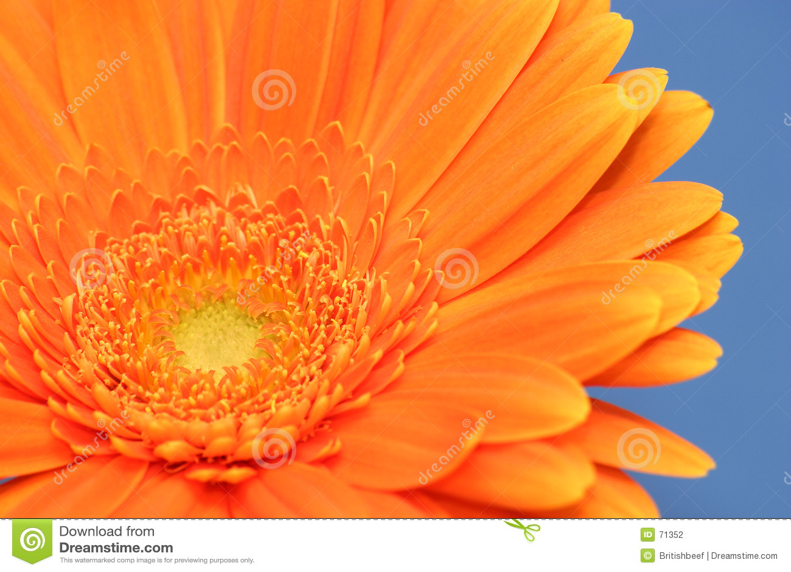 Oranje Gerbera