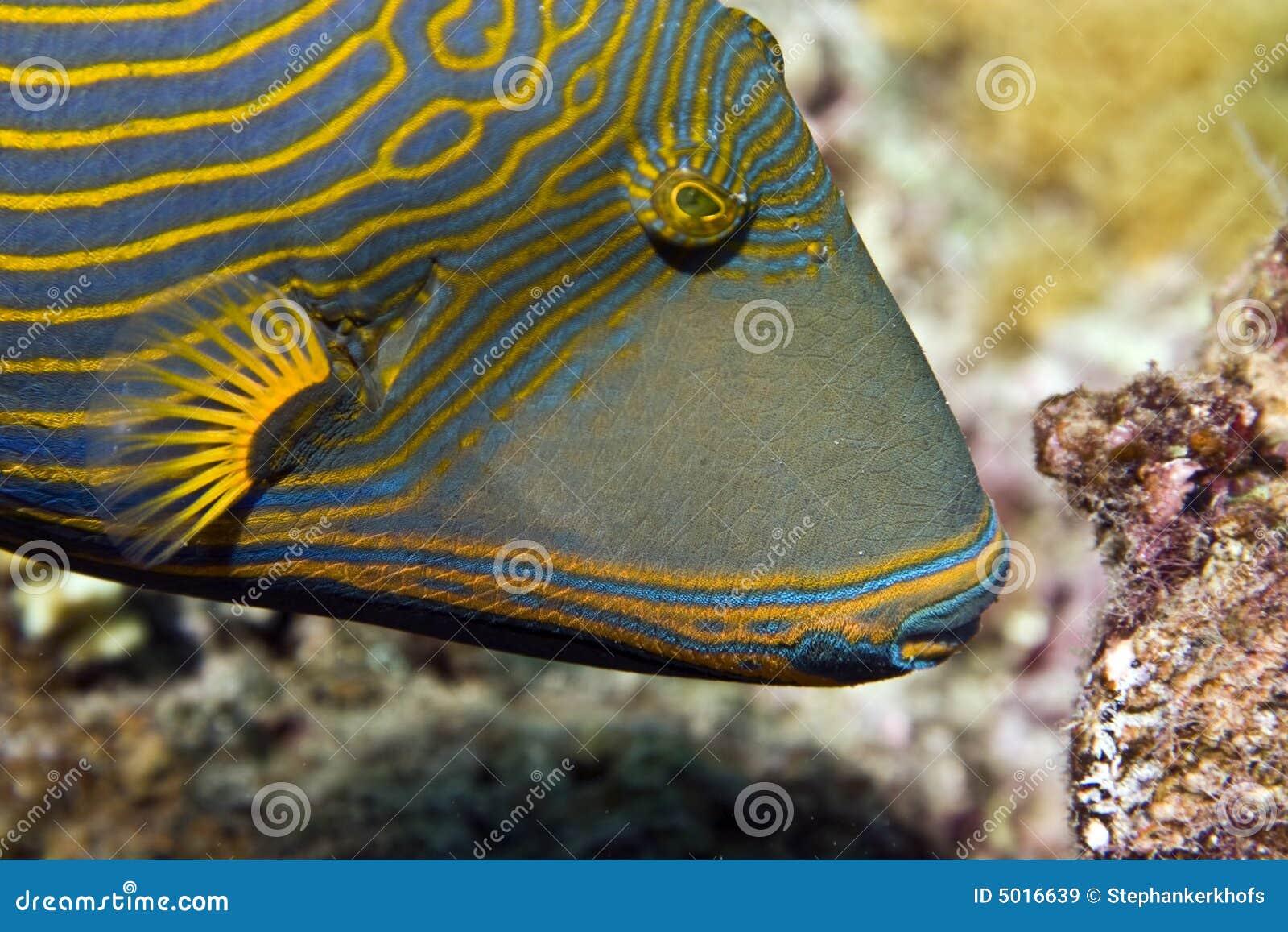 Oranje-gestreept triggerfish (balistapusundulatus)