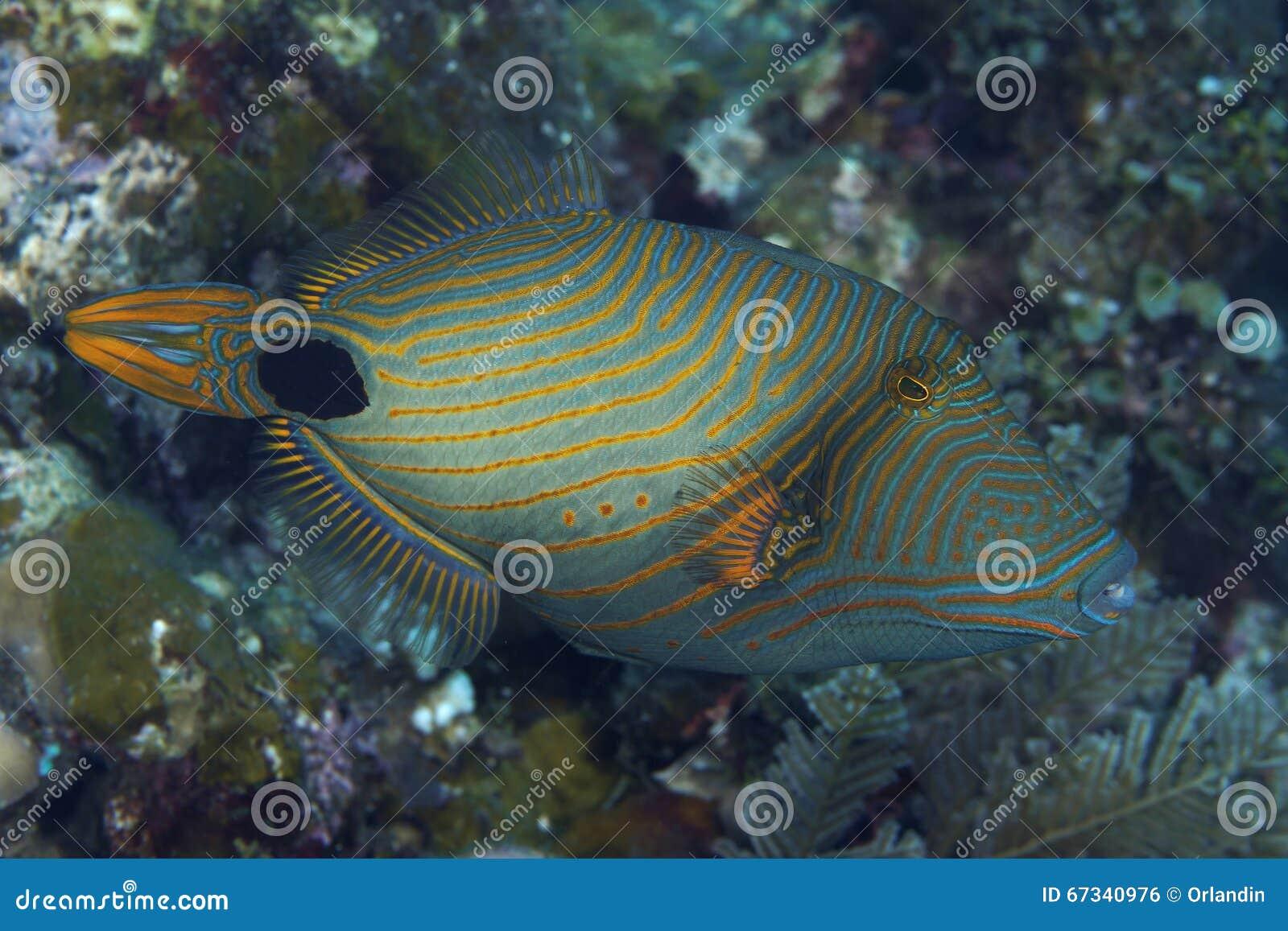 Oranje-gestreepte Triggerfish