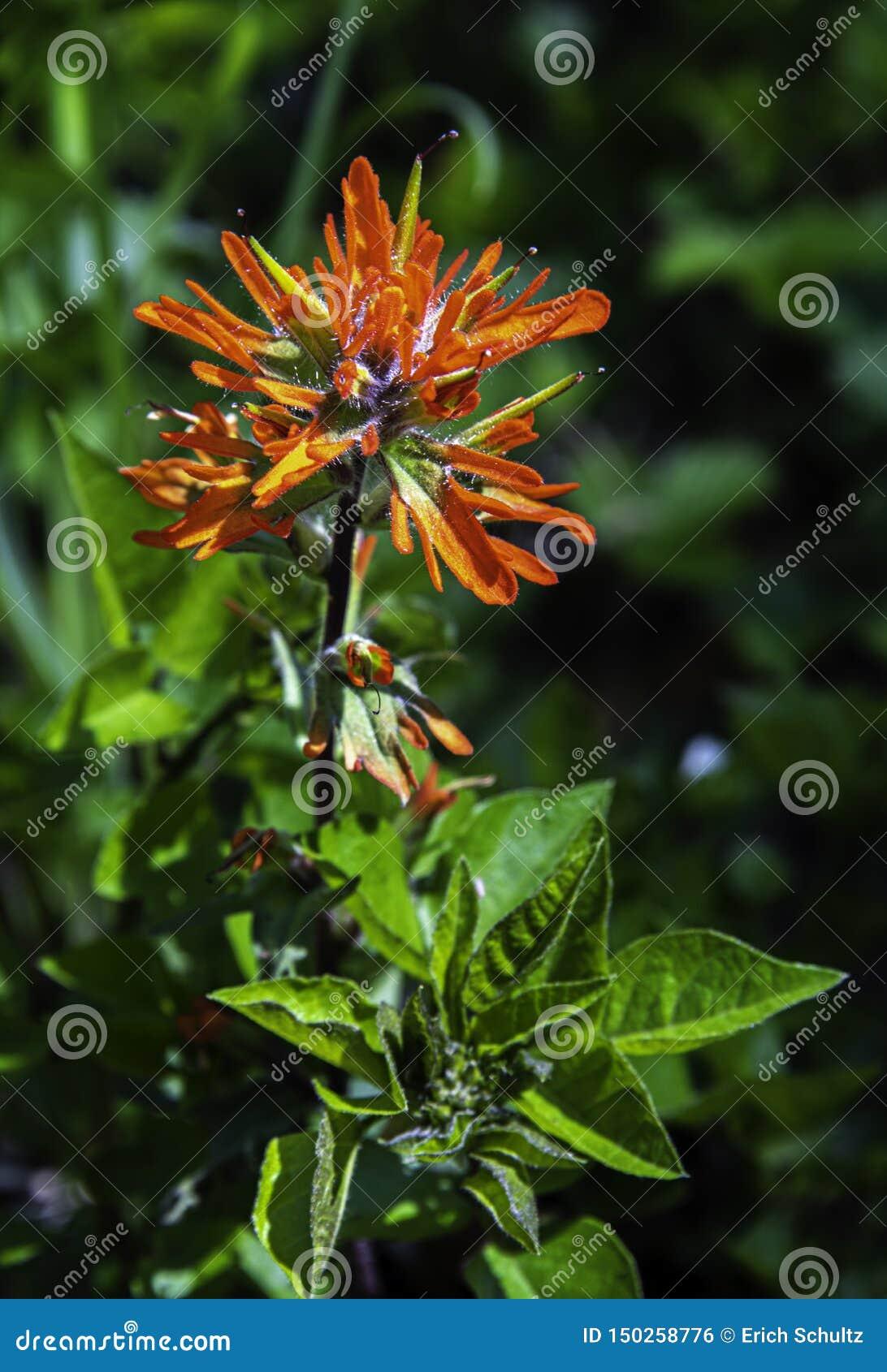 Oranje Indisch Penseel in Volledige Bloei