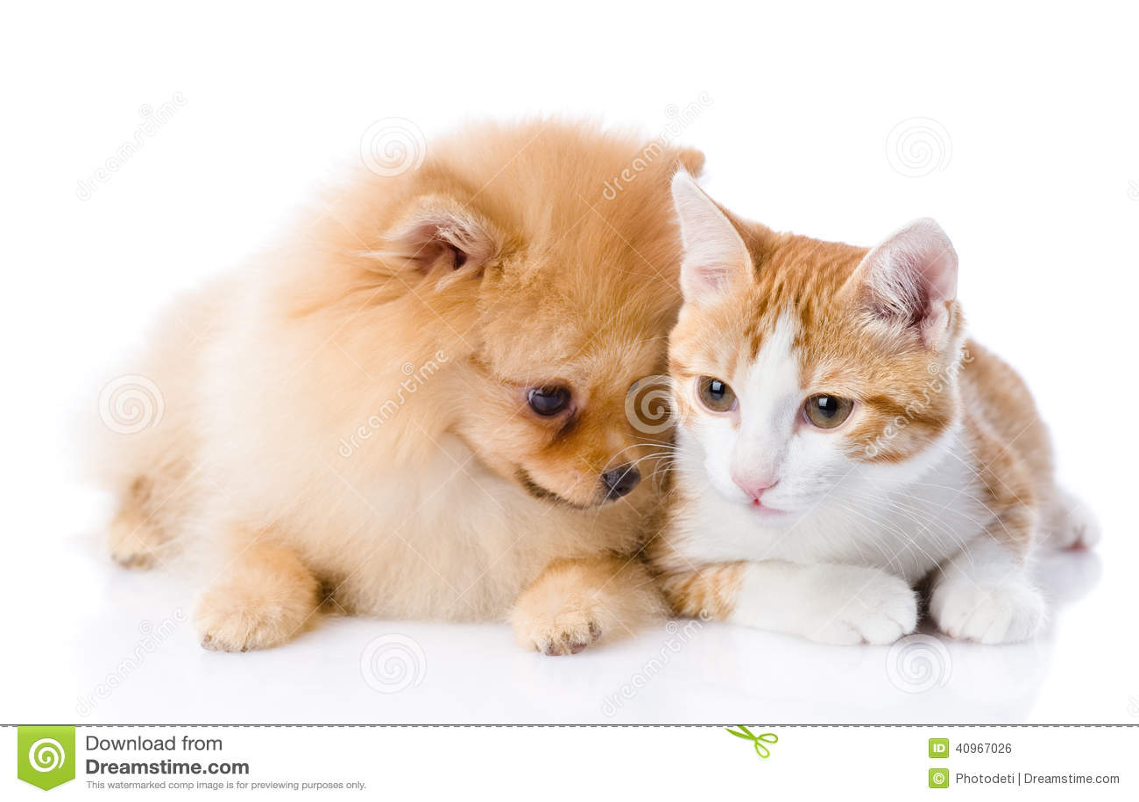 Oranje kat en spitz hond samen