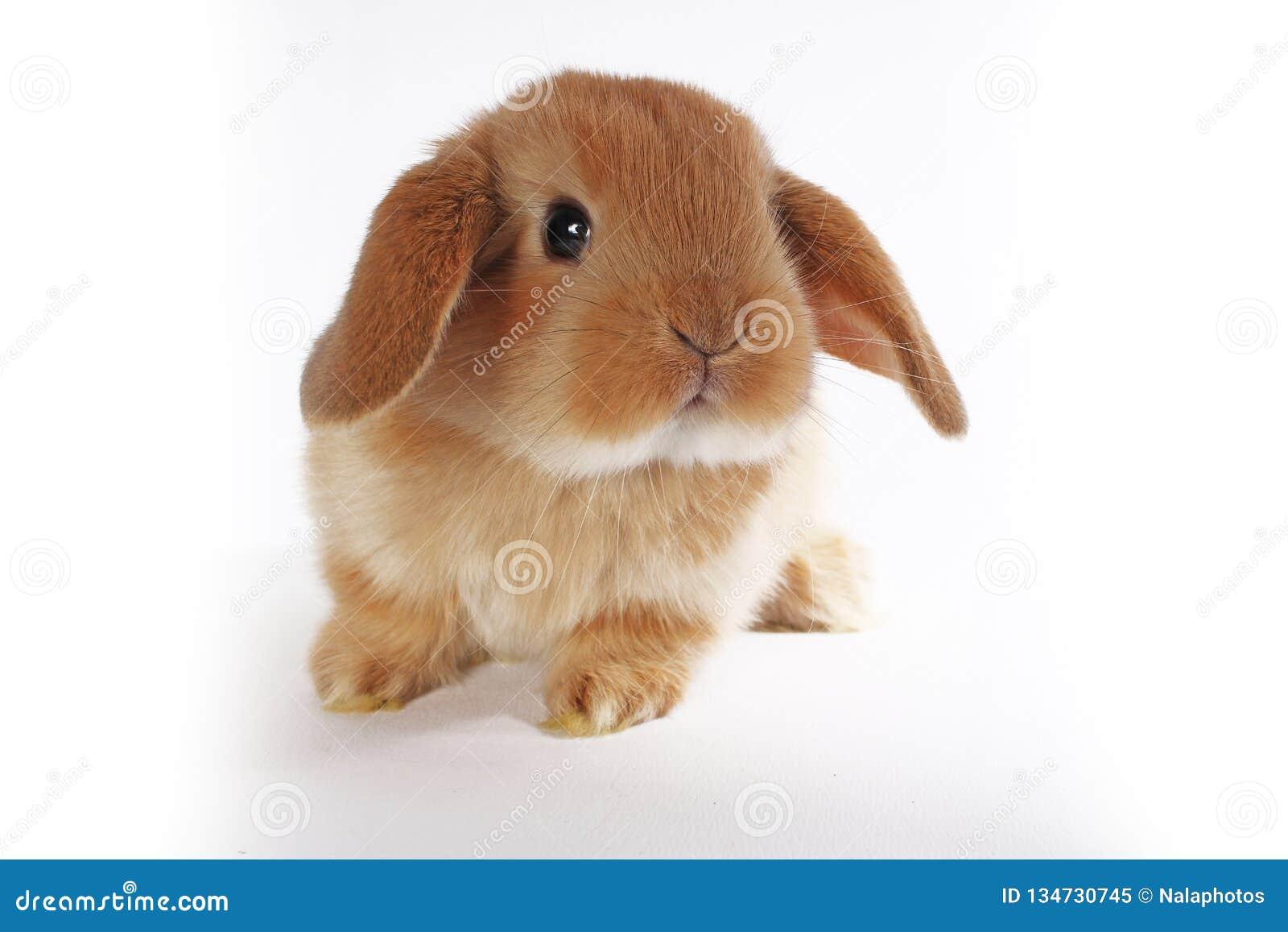 Oranje konijntje Super leuk snoeit dwergkonijn op geïsoleerde witte achtergrond