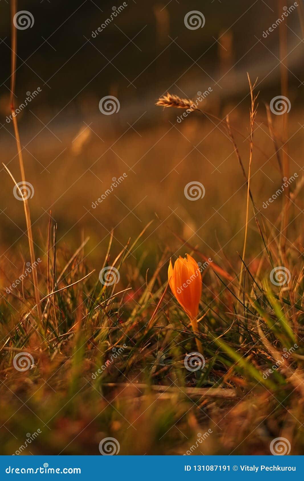Oranje krokusbloemen in een wilde weide in de bergen Close-up