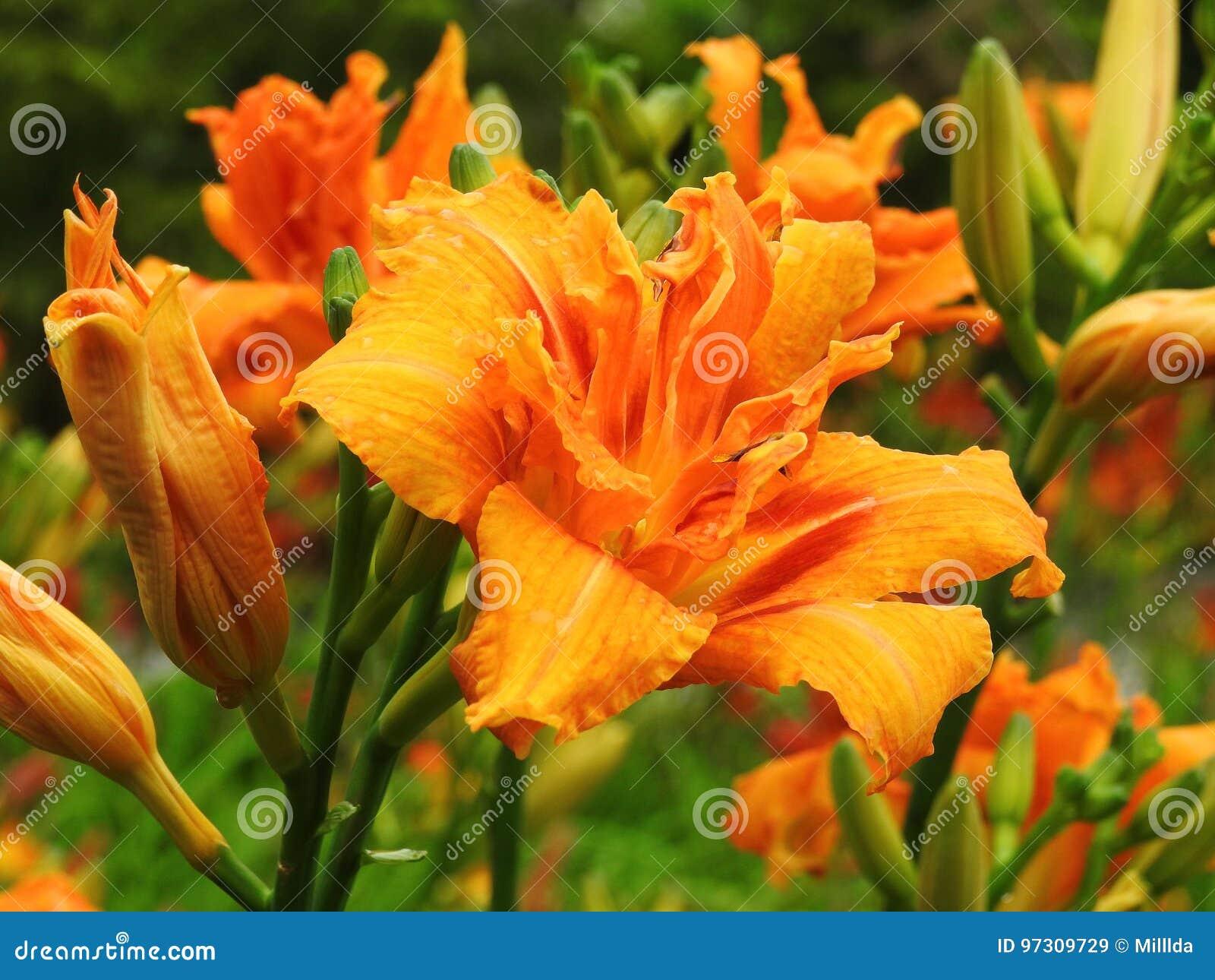 Oranje leliebloemen