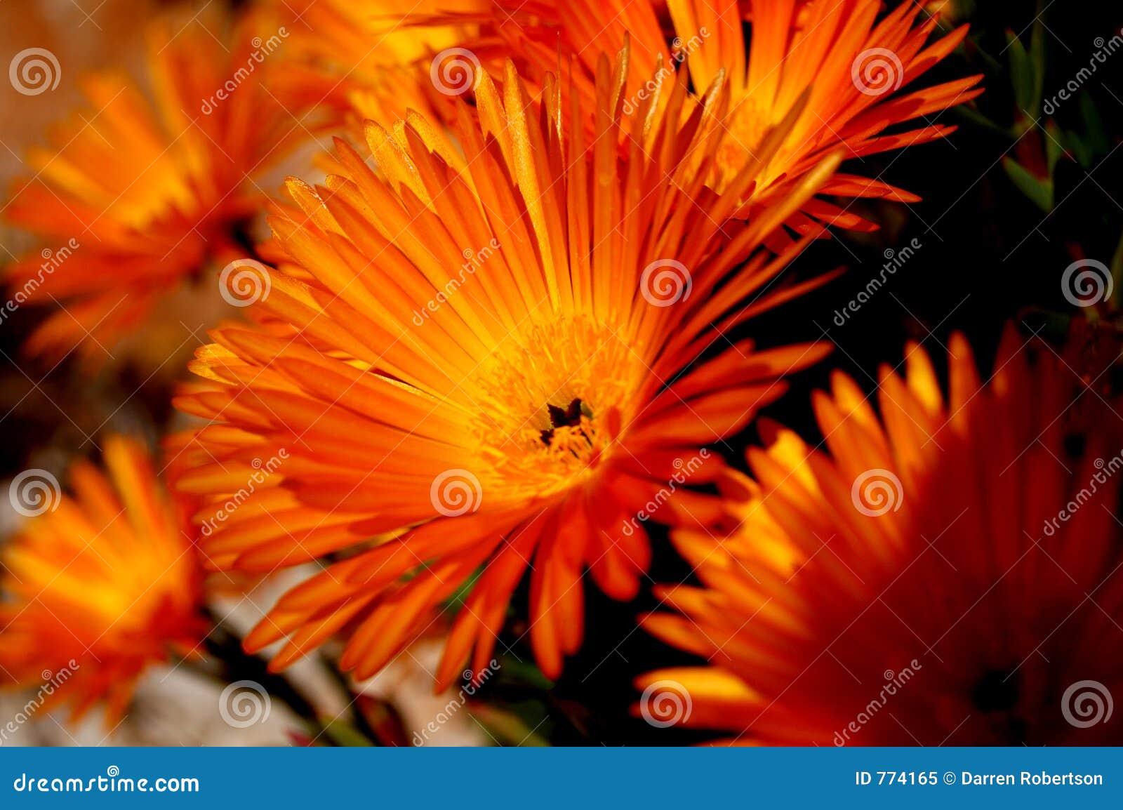 Oranje madeliefje