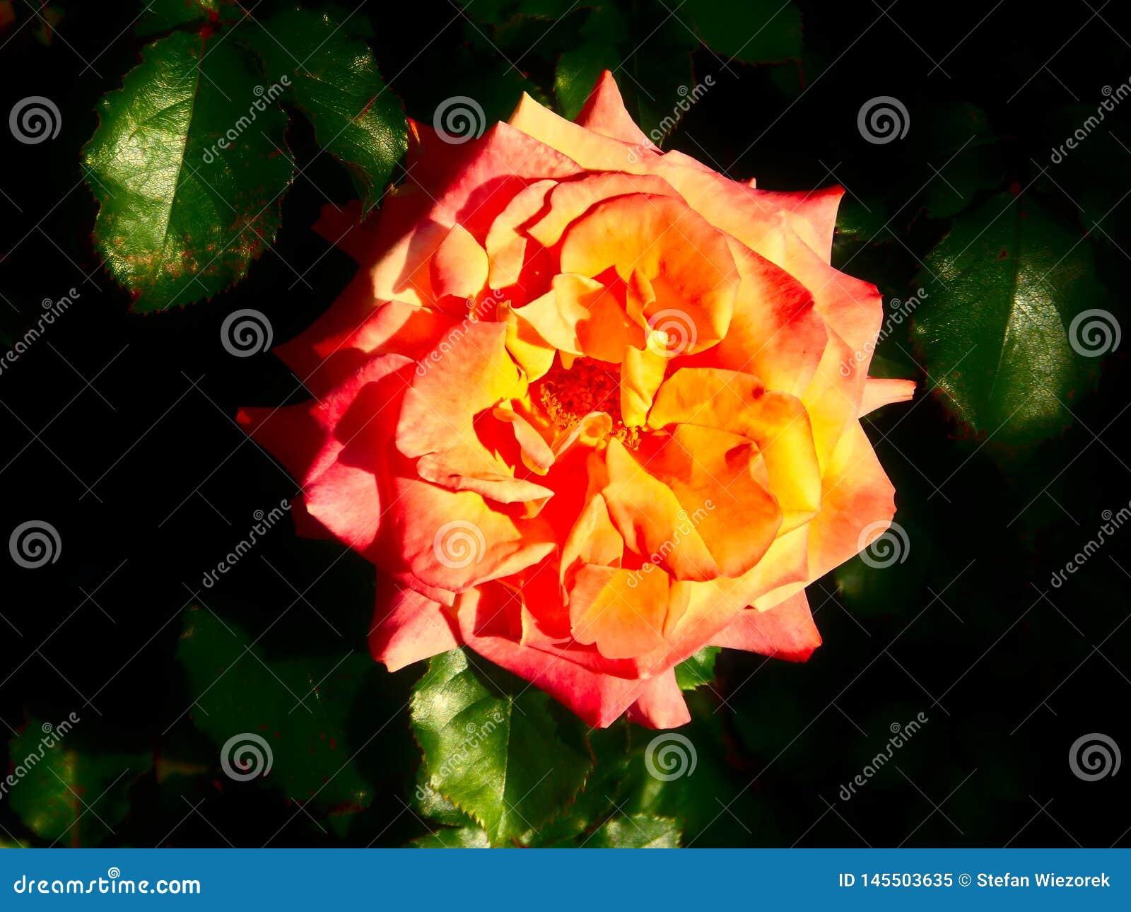 Oranje nam in Parnell Rose Garden, Auckland, Nieuw Zeeland toe