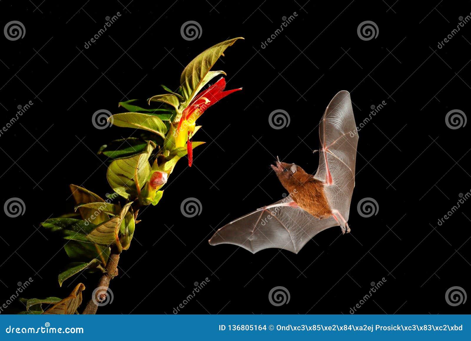 Oranje nectarknuppel, robusta, vliegende knuppel van Lonchophylla in donkere nacht Nachtelijk dier tijdens de vlucht met gele voe